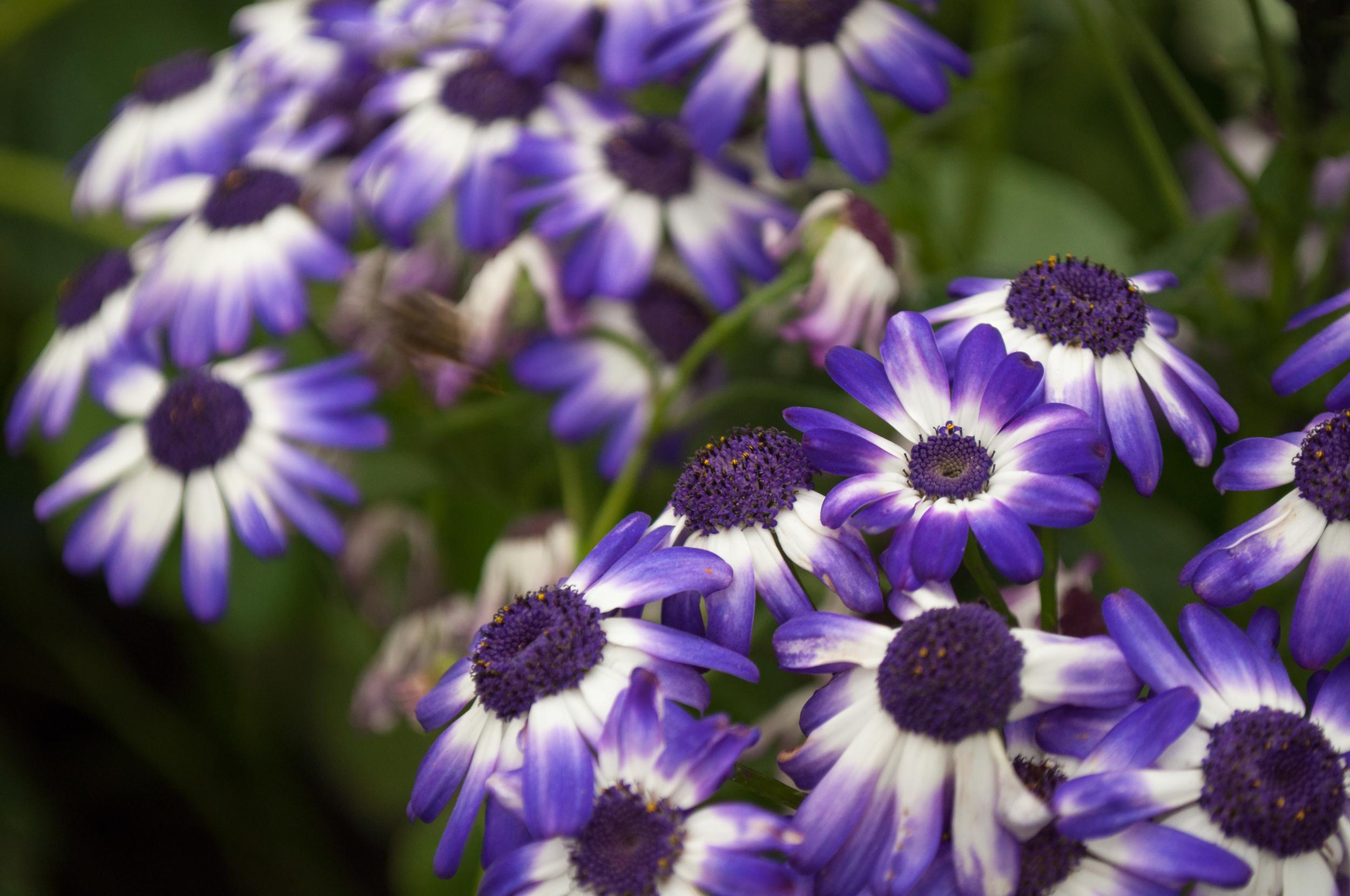 Kwiaty, Madera - 150420 - DSC_4143.JPG