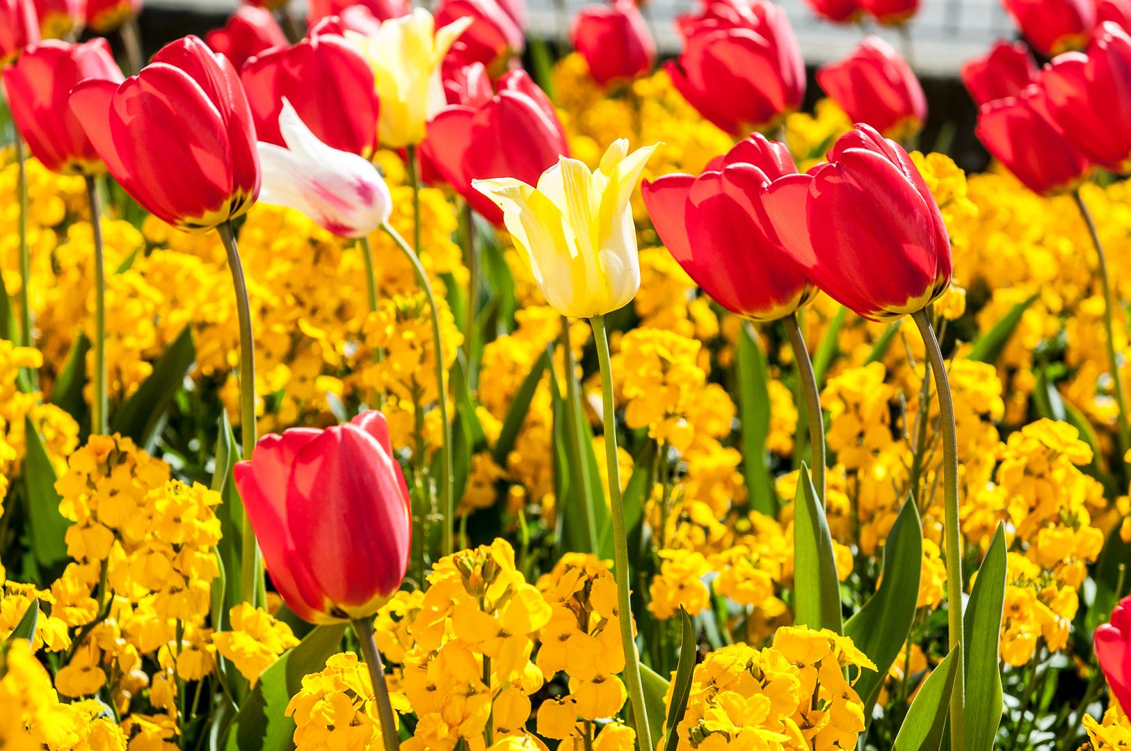 Tulipany -170423-4211.jpg