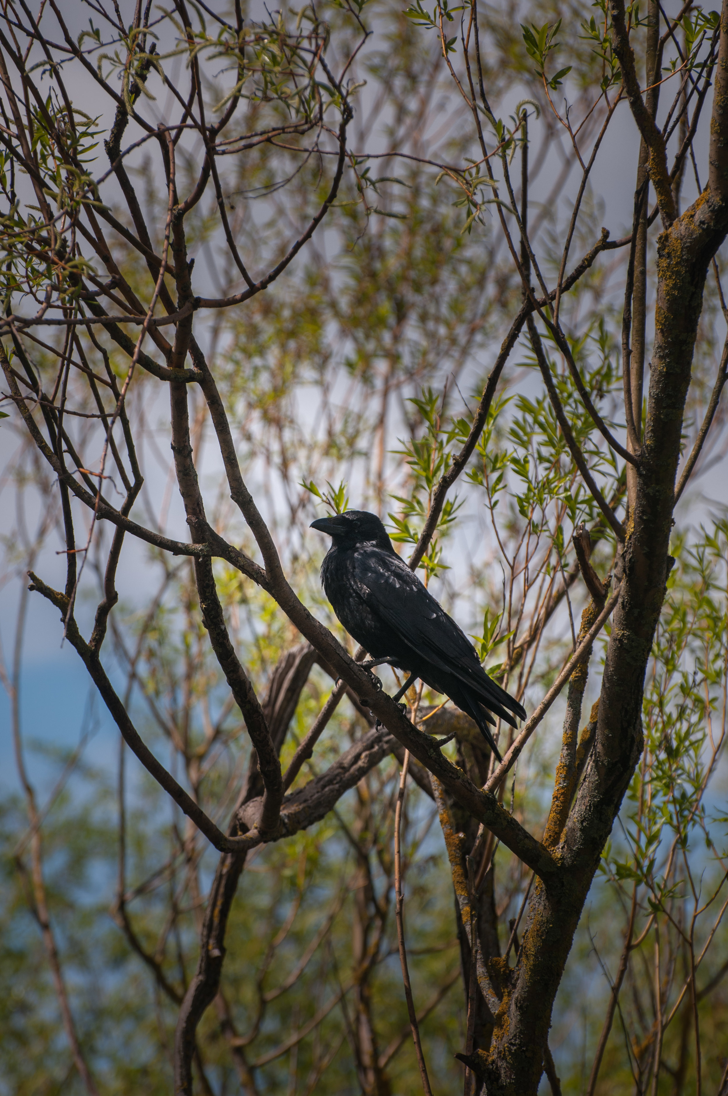 crow - 2018 - MAR_8482.jpg