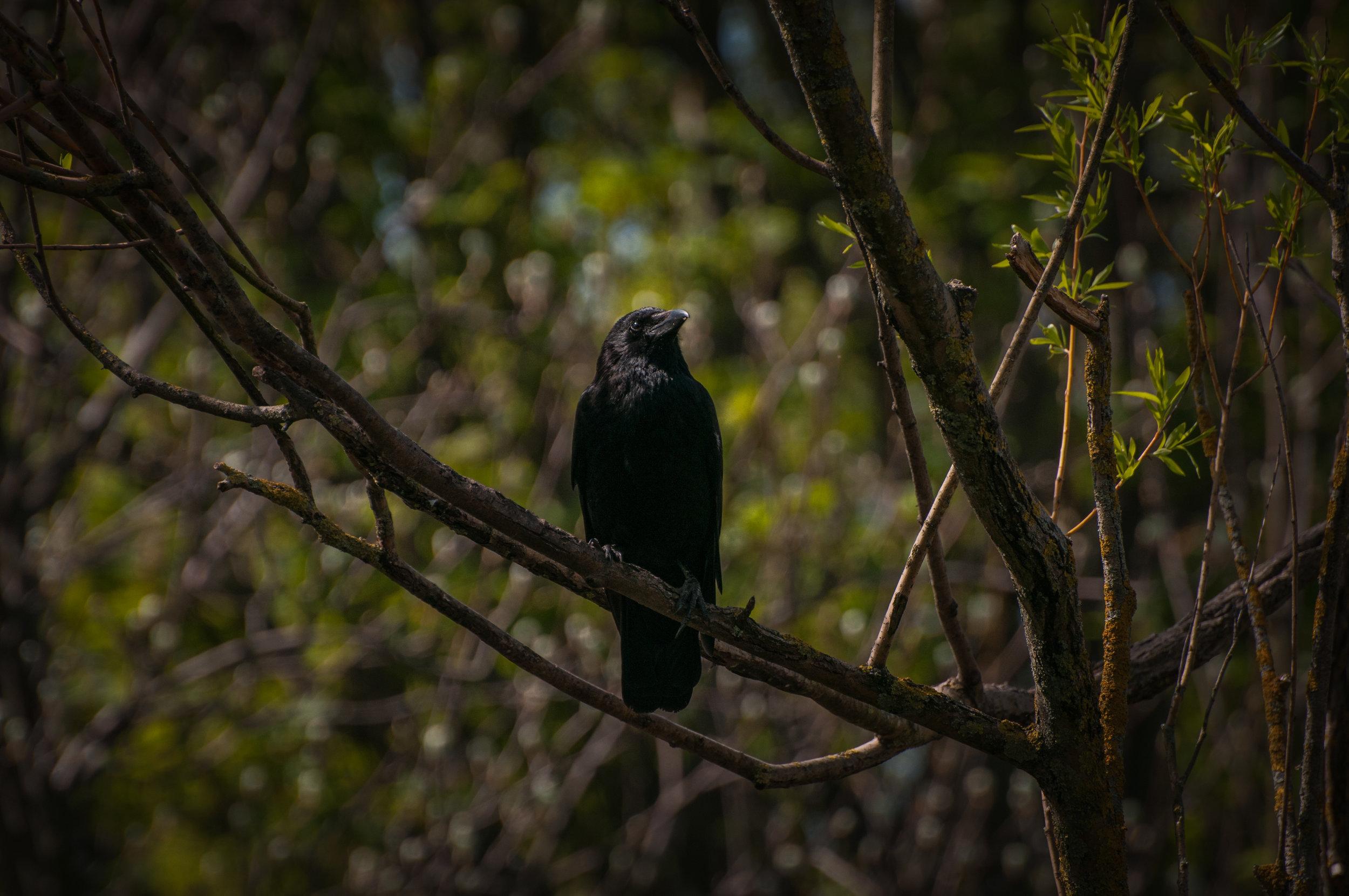 crow - 2018 - MAR_8491.jpg