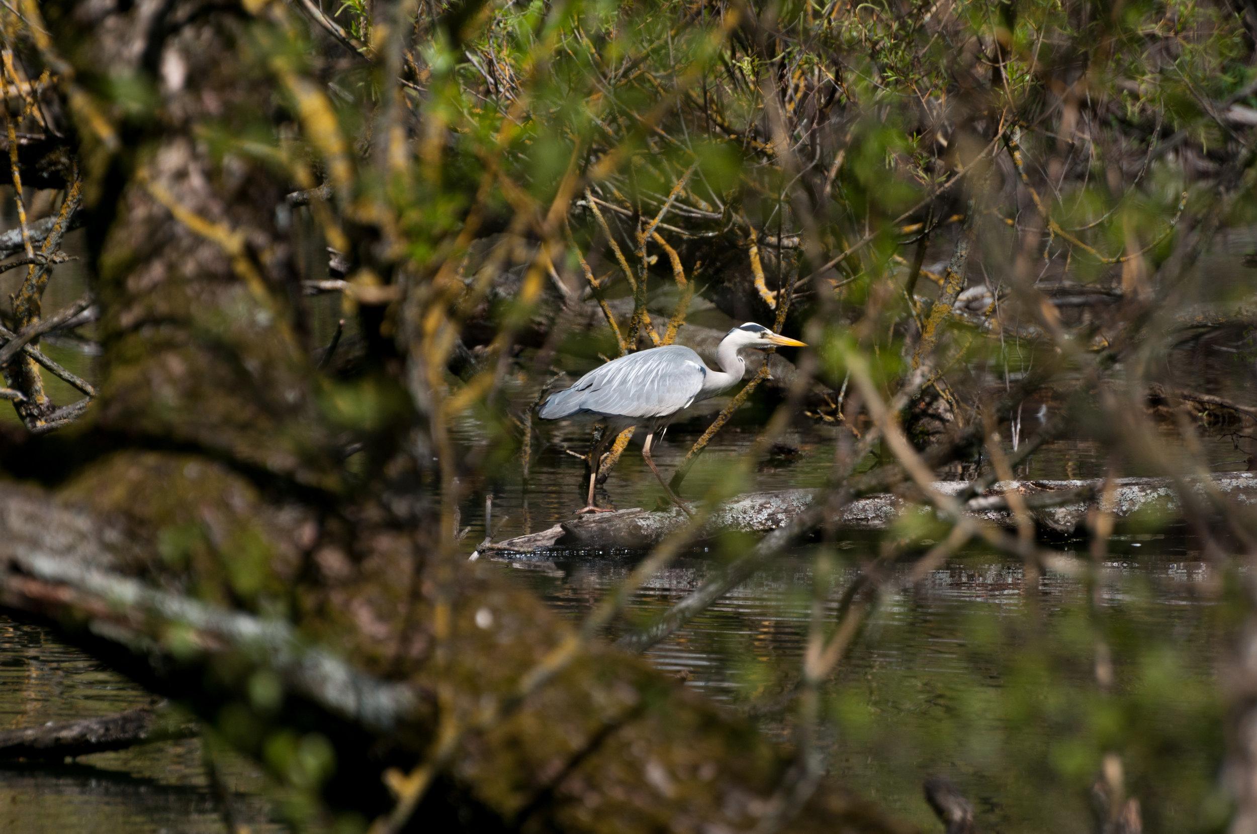 Crane bird - 2018 - MAR_8462.jpg