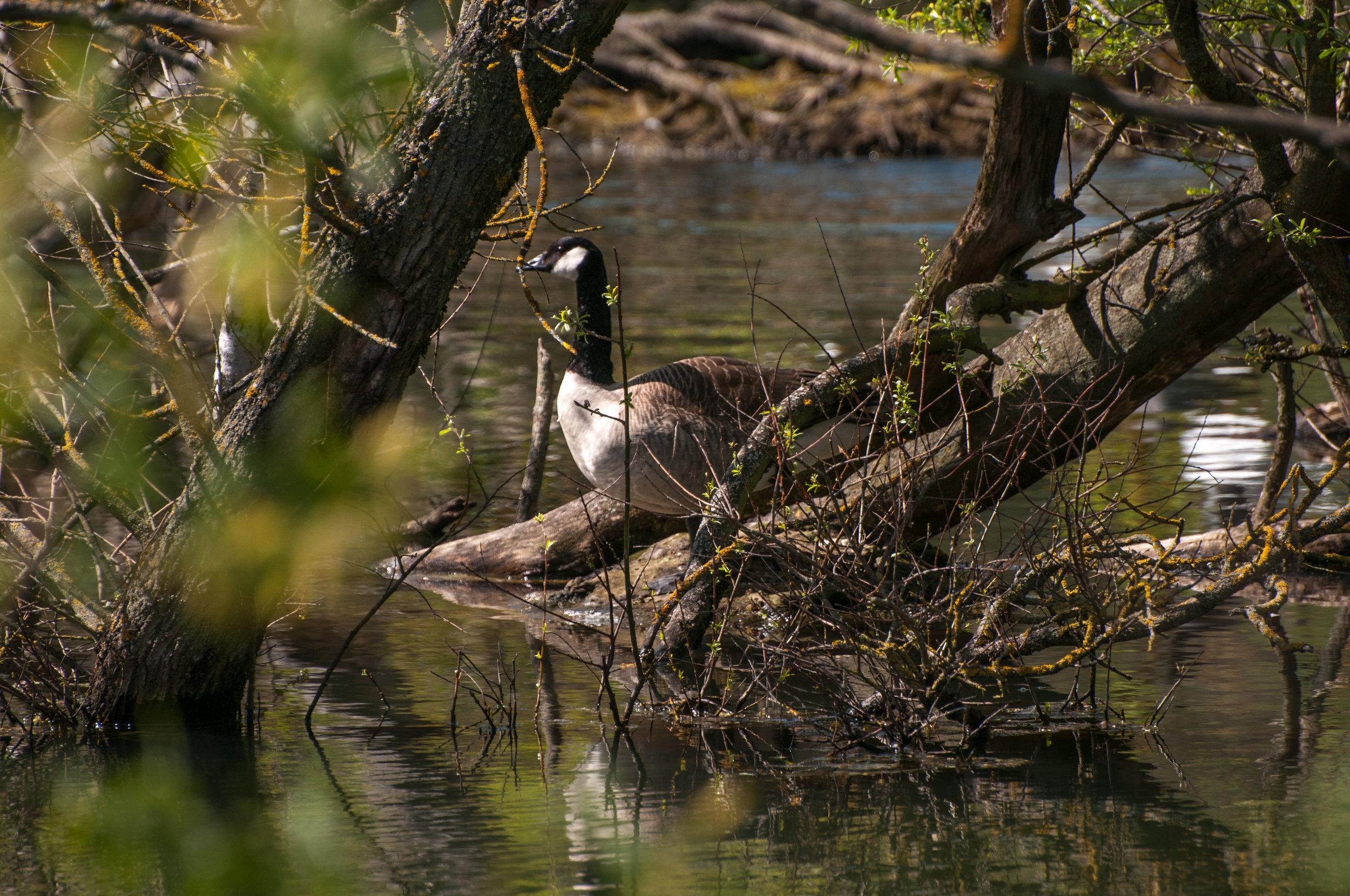 goose - 2018 - MAR_8516.jpg