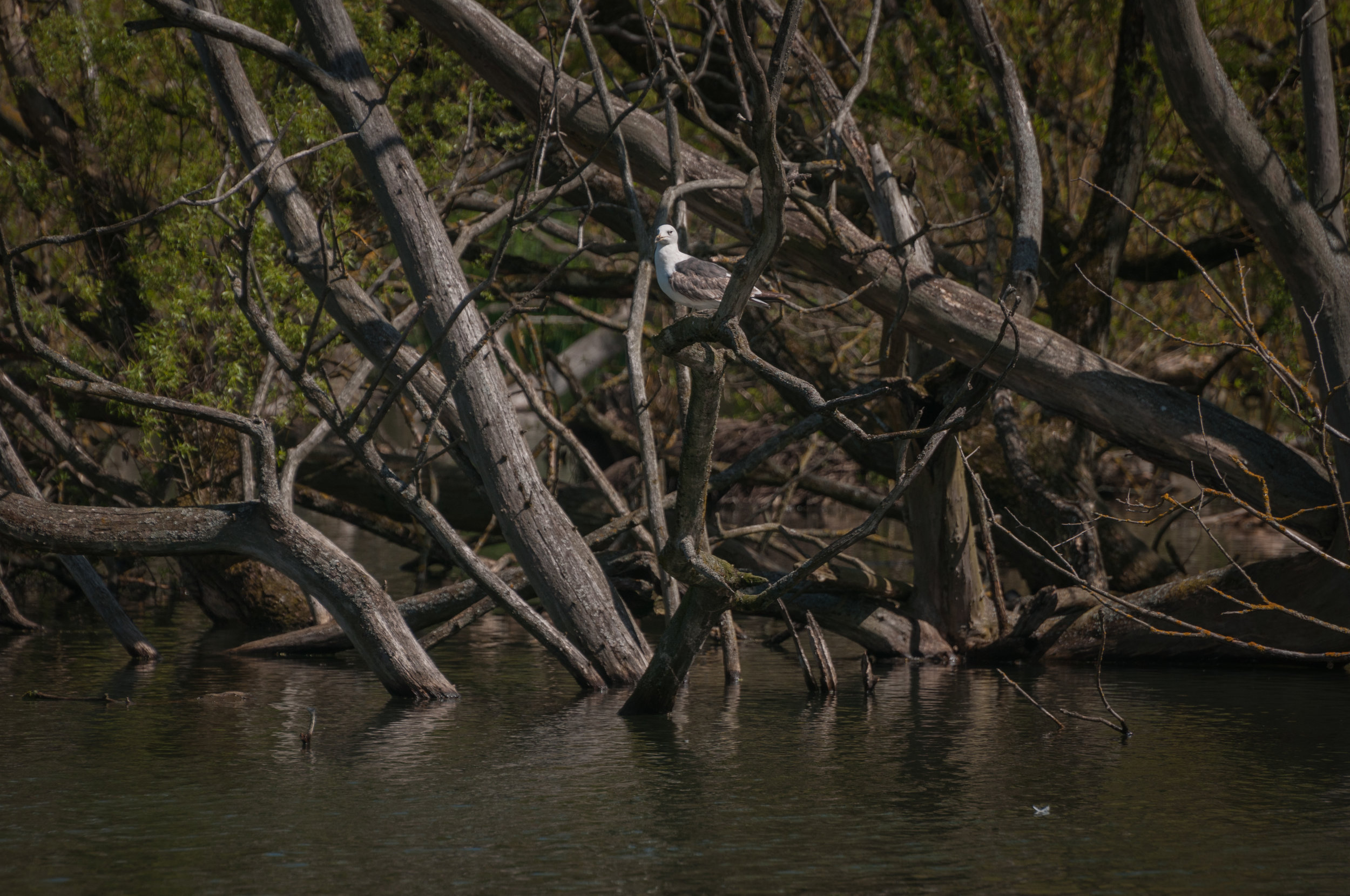 Seagul on tree - 2018 - MAR_8436.jpg