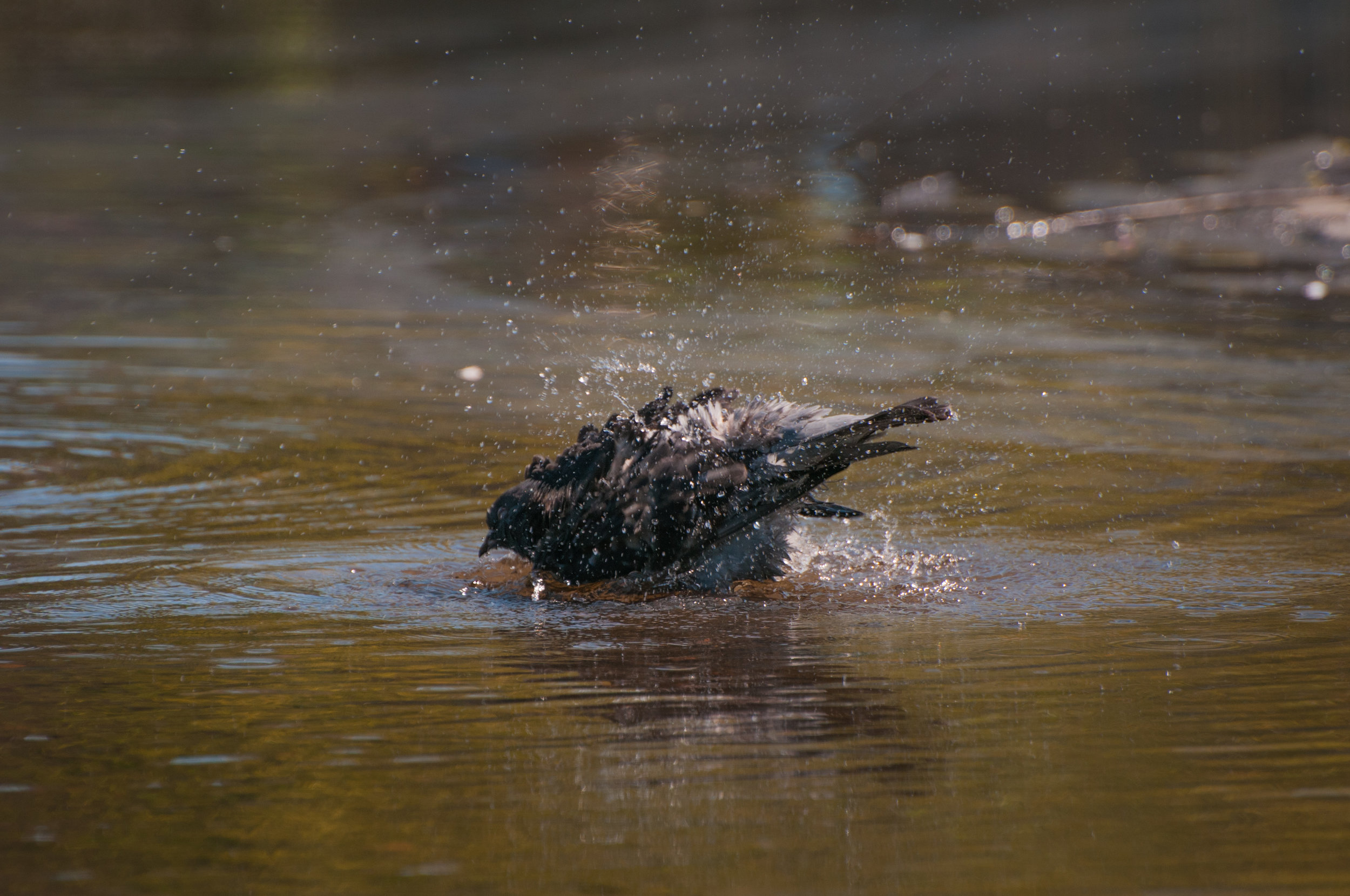 Pigeon taking a bath - 2018 - MAR_8397.jpg