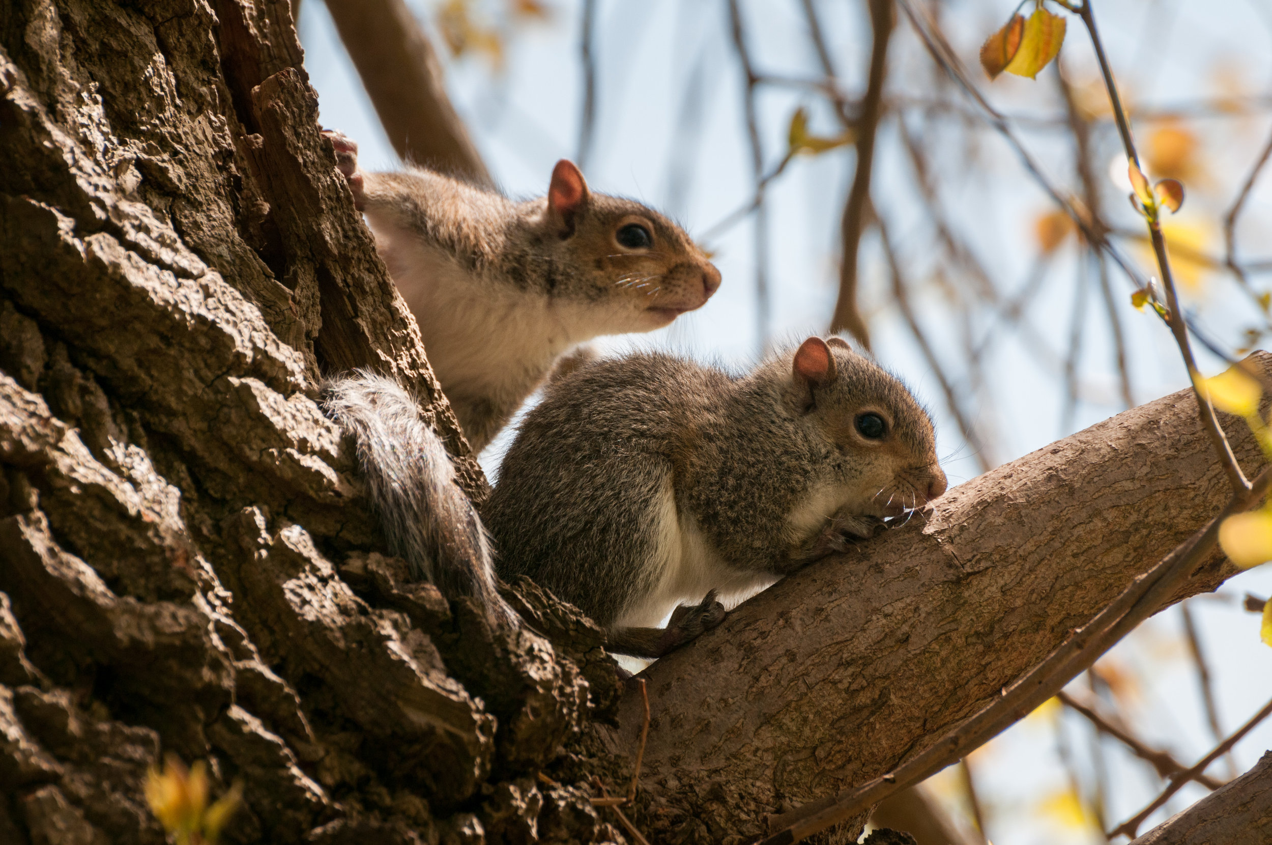 Squirrel - 2018 - MAR_8319.jpg