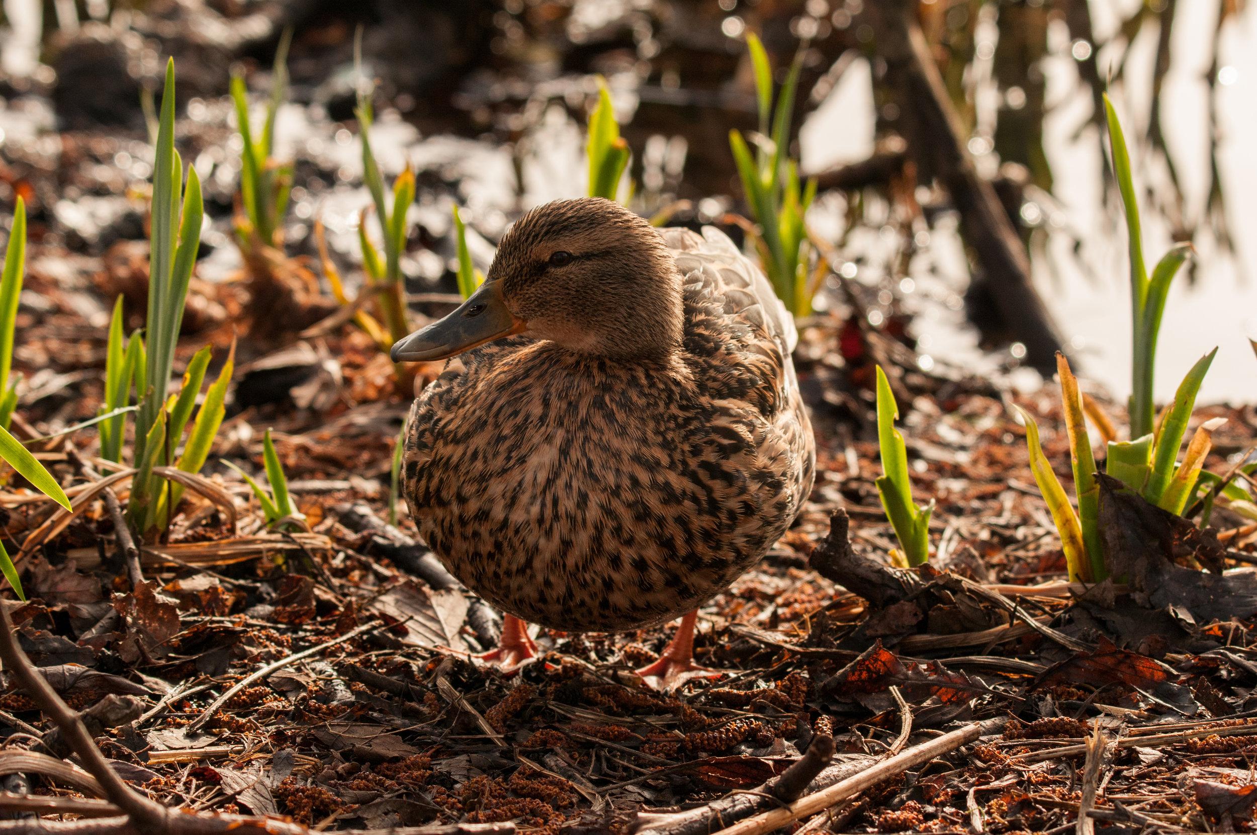 Ptaki Lochend - 2019 - MAR_4544.jpg