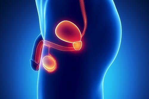 Anatomia urogenital masculina