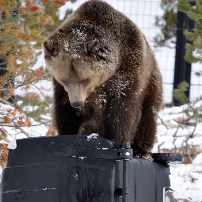 photo credit: grizzly bear & wolf discovery center