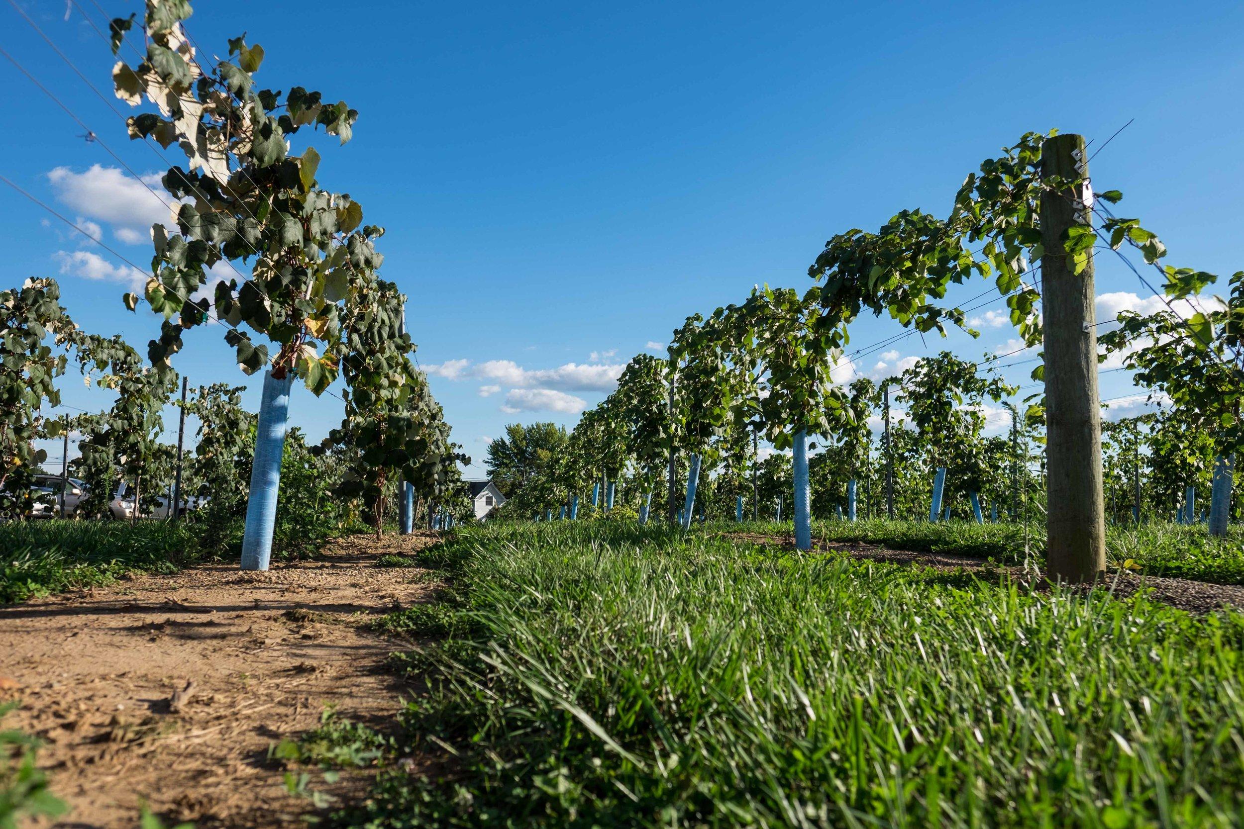 Blue Barn Vineyard