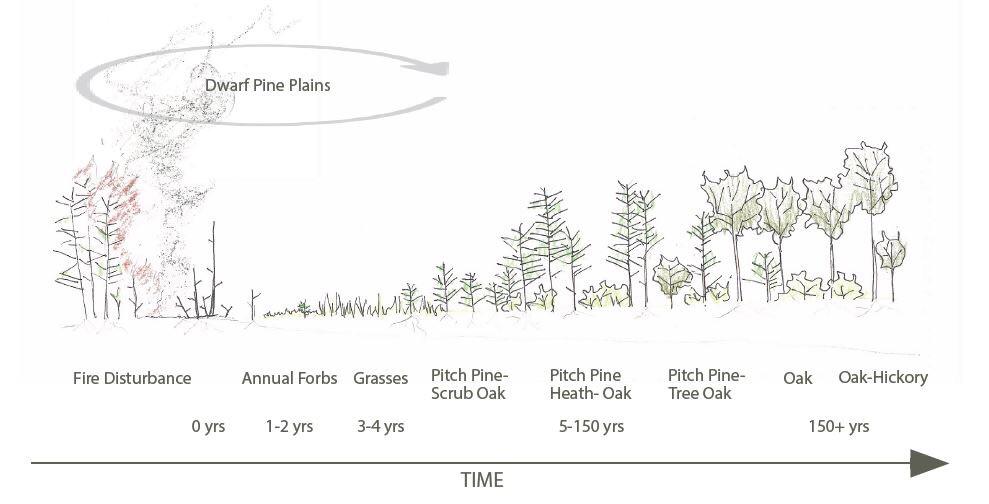 The succession of the Pine Barrens. Illustration courtesy of Amanda Branum