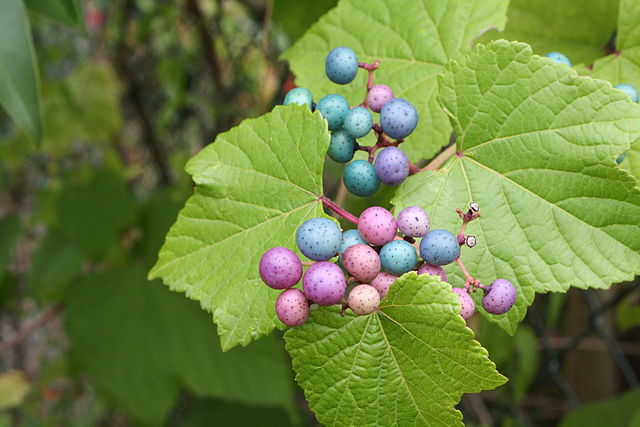 Porcelain-berry is a vigorous invader of open and wooded habitats. It grows and spreads quickly in areas with high to moderate light. As it spreads, it climbs over shrubs and other vegetation, shading out native plants and consuming habitat. Photo: Olivier Vanpé •  CC BY-SA 3.0