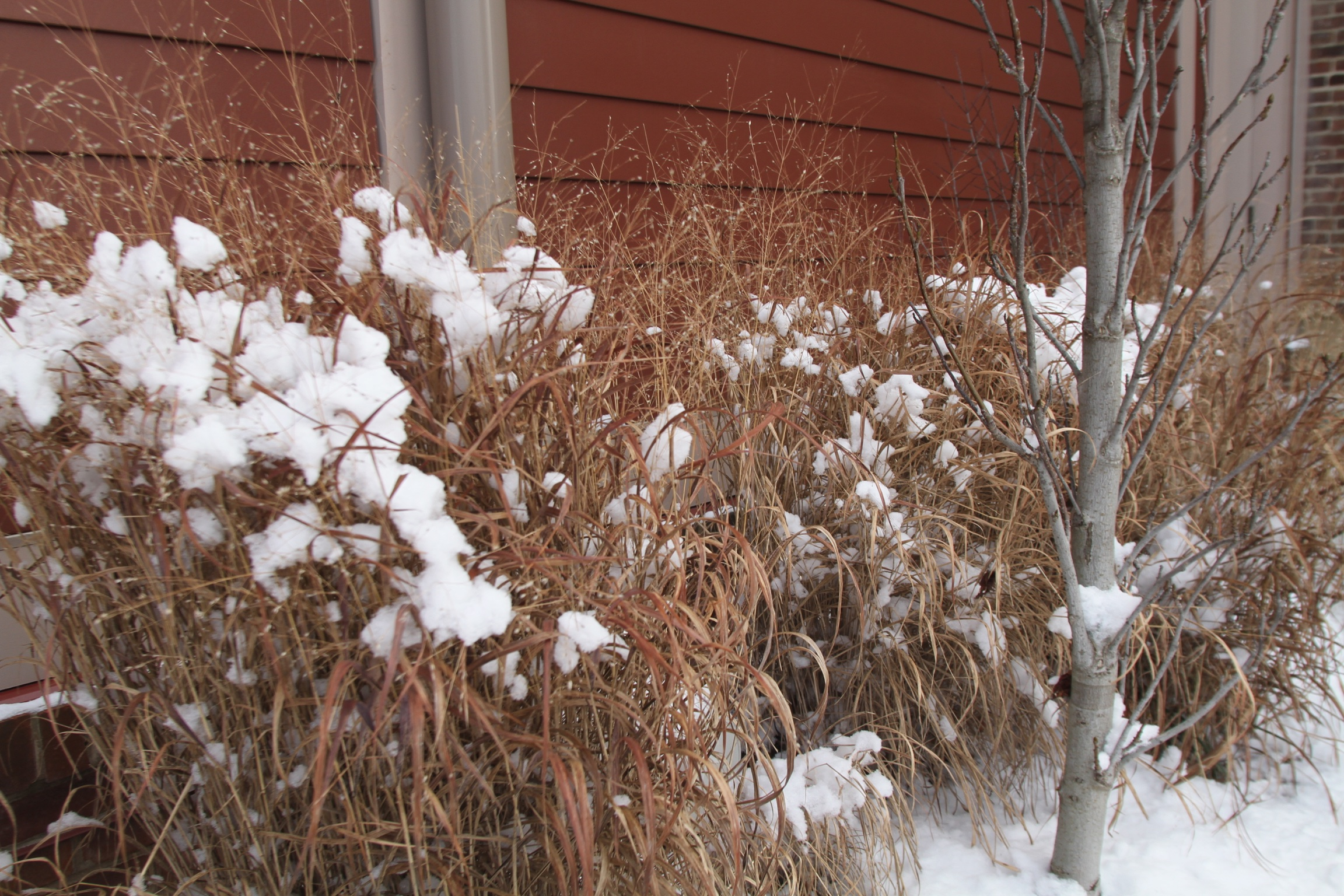 Switchgrass, <i>Panicum virgatum</i> 'Heavy Metal'