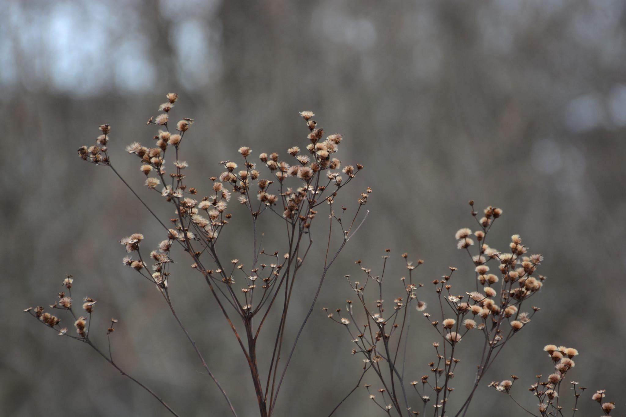 New York Ironweed, <i>Vernonia noveboracensis</i>