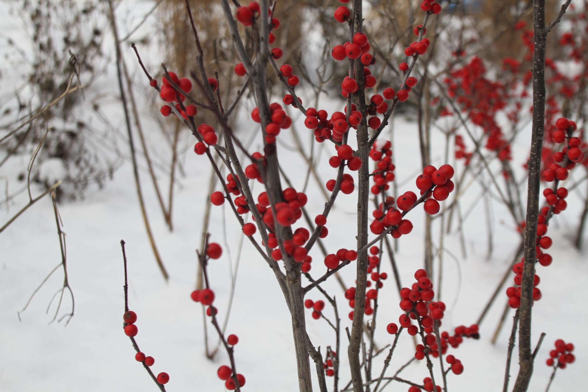 Winterberry, <i>Ilex verticillata</i>