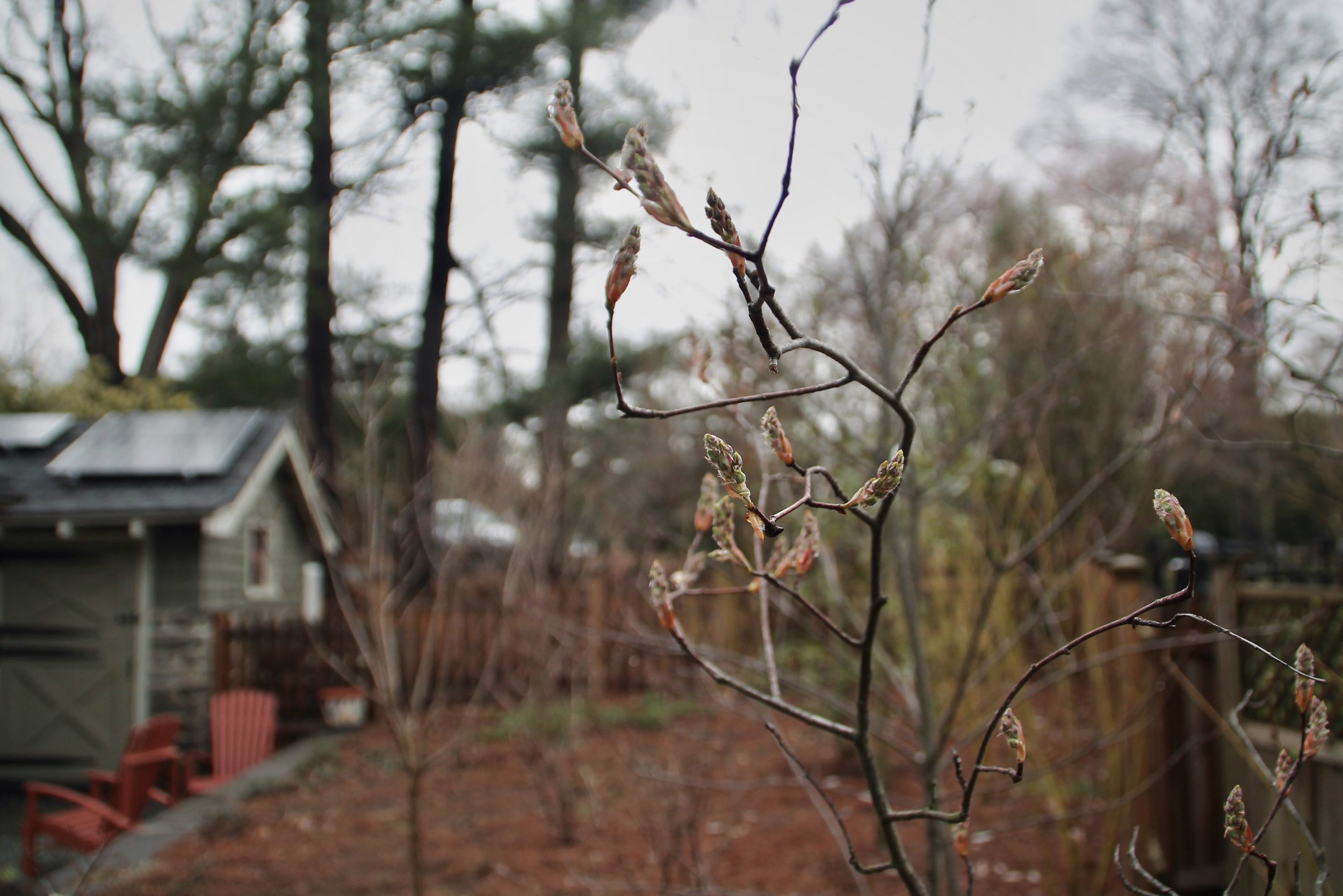 This week's rain has brought out the buds on a serviceberry ( Amelanchier laevis ) which sits just next to a gravel patio designed for permeability and stormwater absorption, and solar panels to reduce this home's reliance on fossil fuels.