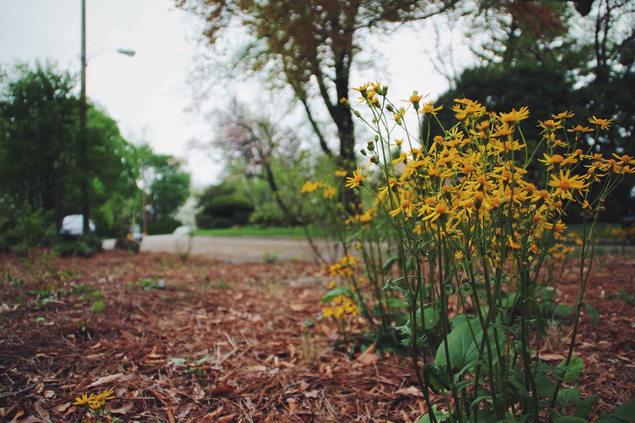Ragwort, or  Packera aurea in bloom this week.