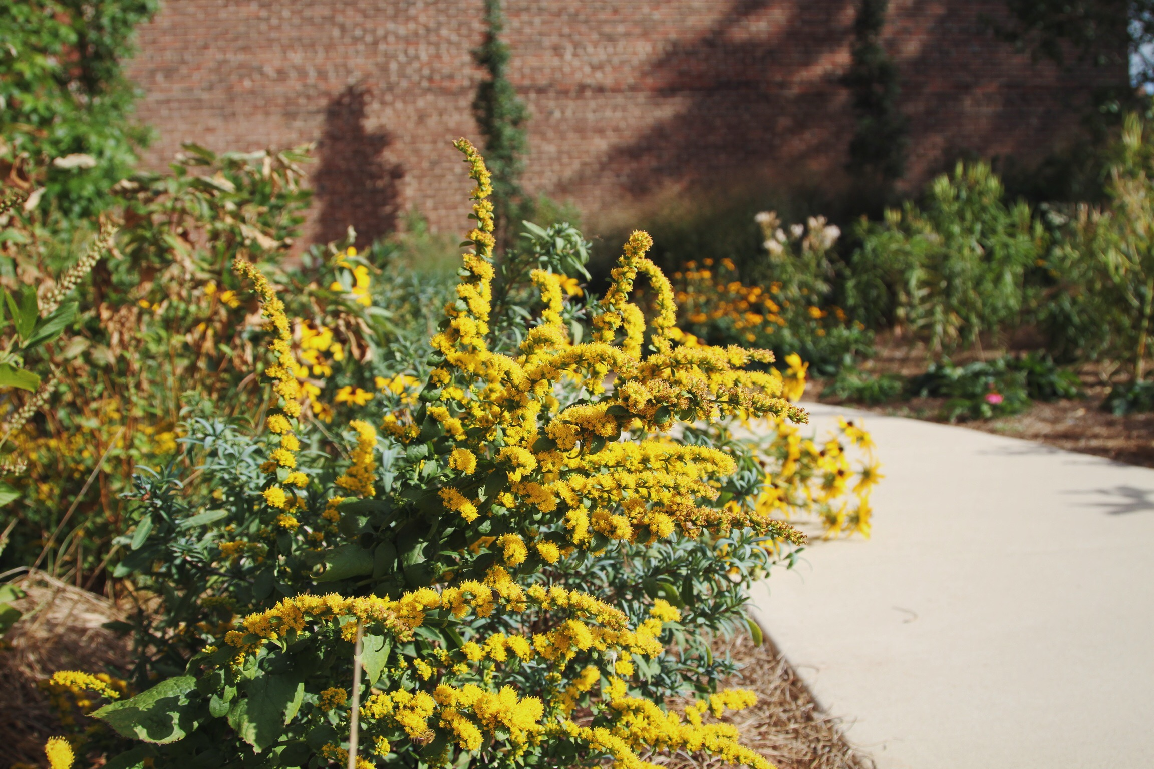 Goldenrod, or  Solidago sphacelata 'Golden Fleece,'  blooms beautifully in August-September, and works best in an environment where its growth rate is moderated by the presence of functional pests and competition from other native plant species.