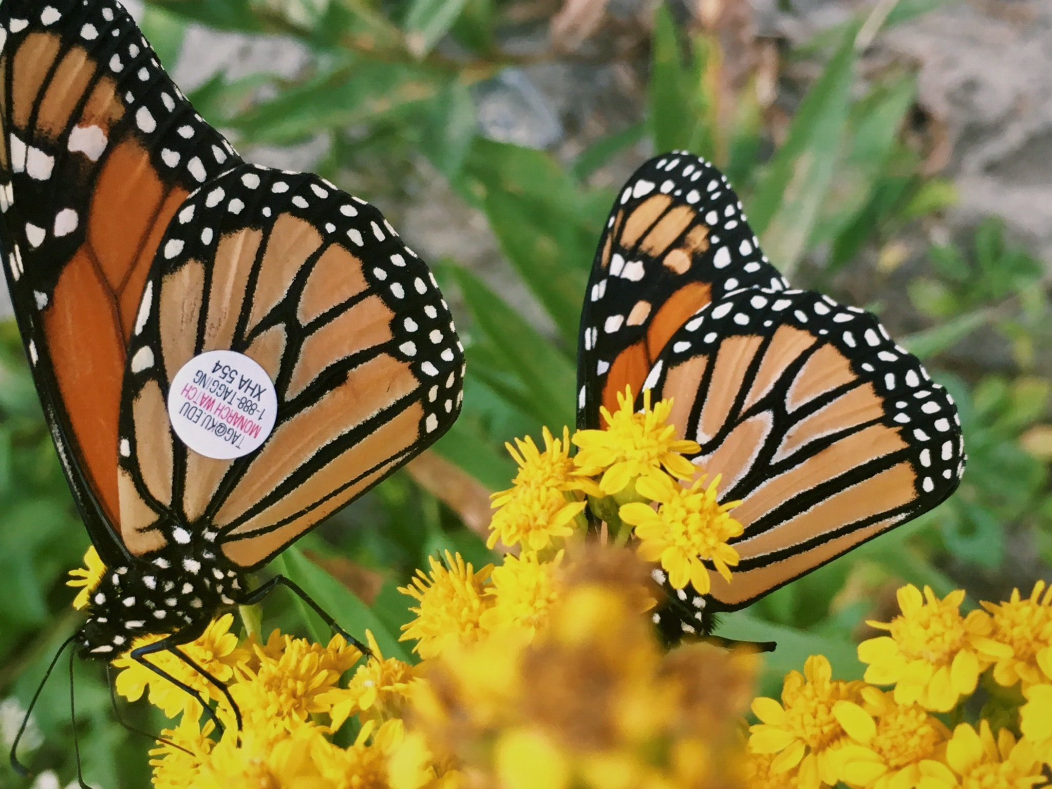 Our Land Management Director, Anna Corichi, captured this photo of a tagged monarch on her quick trip to the coast a few weeks ago.