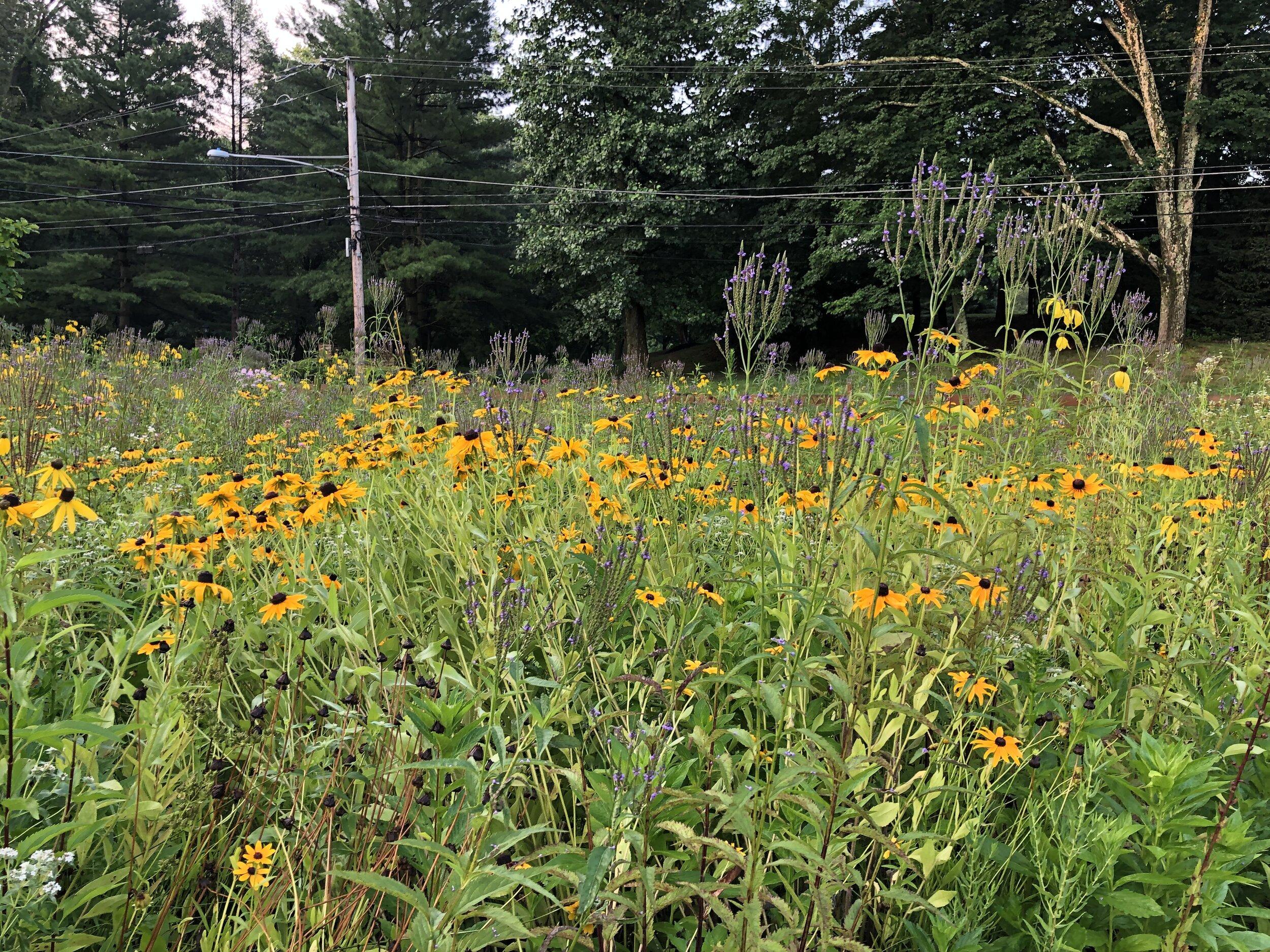 Designed Native meadows -