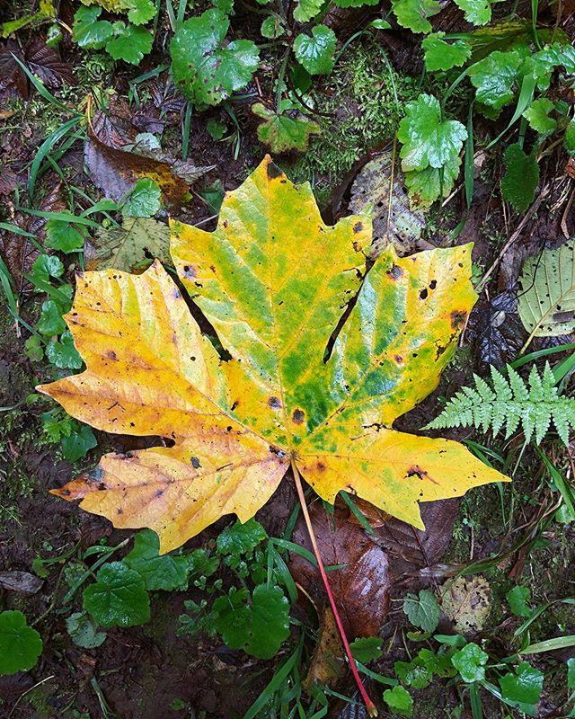 A walk in the woods 🍁 ⠀⠀⠀⠀⠀⠀⠀⠀⠀ 1) Bigleaf maple, #acermacrophyllum 2) Upright coral fungus, #ramariastricta 3) #xeromphalinacampanella 4) ??? 5) Pelt lichen, #peltigeramembranacea 6) Olive shaggy parasol, #chlorophyllumolivieri 7) West Coast reishi, #ganodermaoregonense