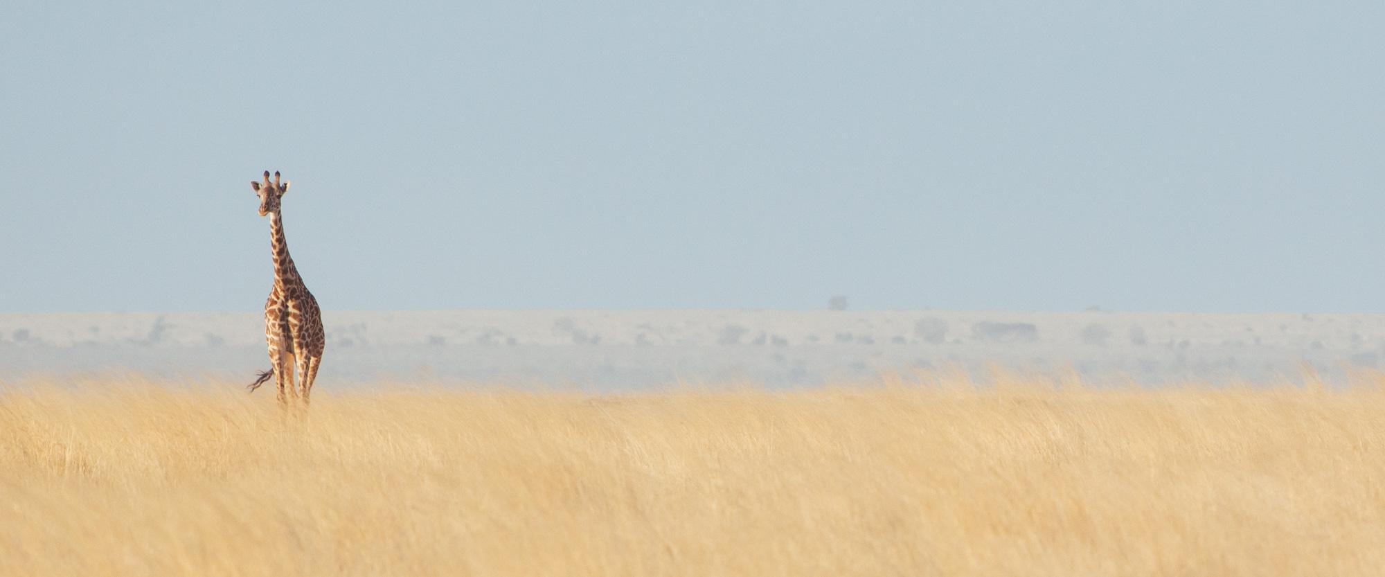 Amboseli Giraffe | Kenya Safari | Panorama
