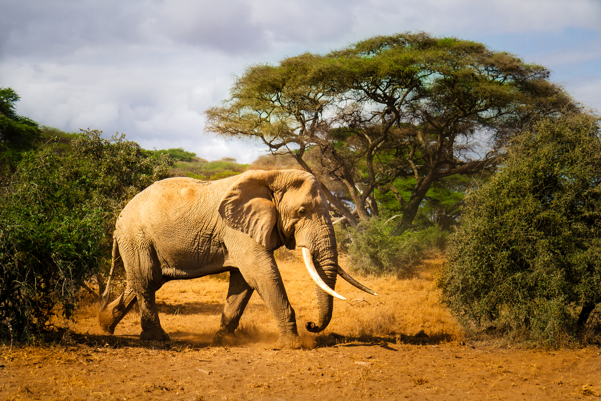 Bull Elephant in Tsavo, Kenya | high gloss metal print | 12x18