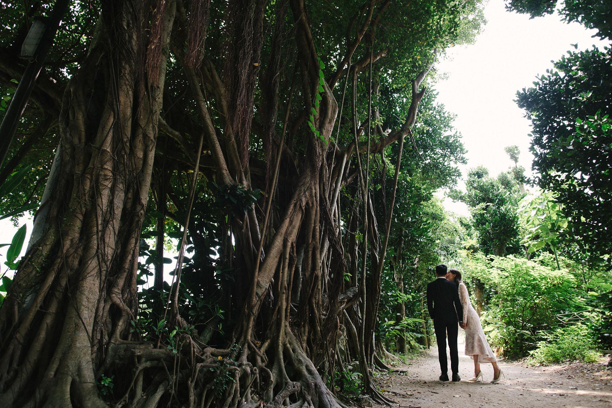 備瀬のフクギ並木には大きなガジュマルの木もある