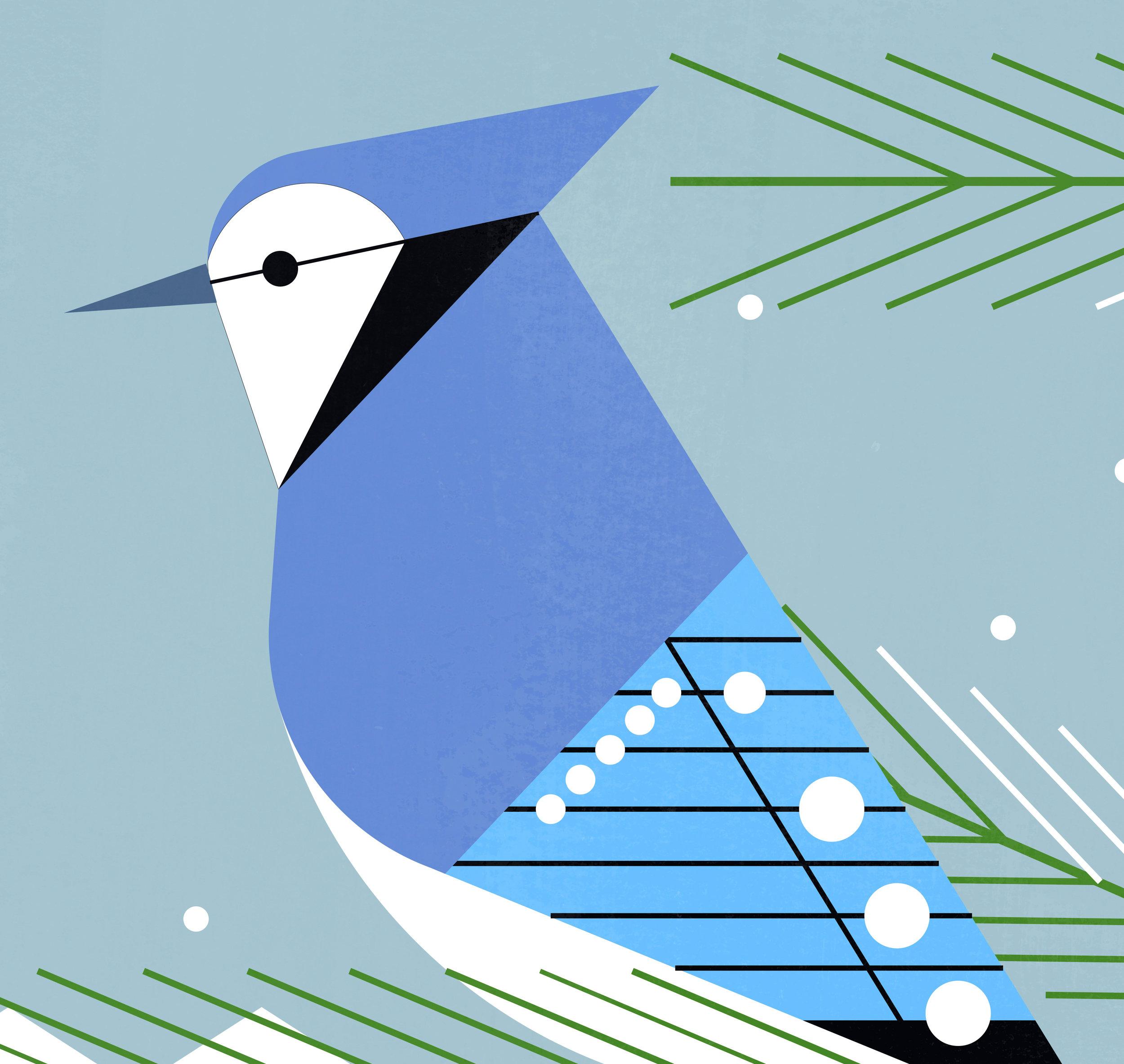 Bluejay2 (Close Up).jpg