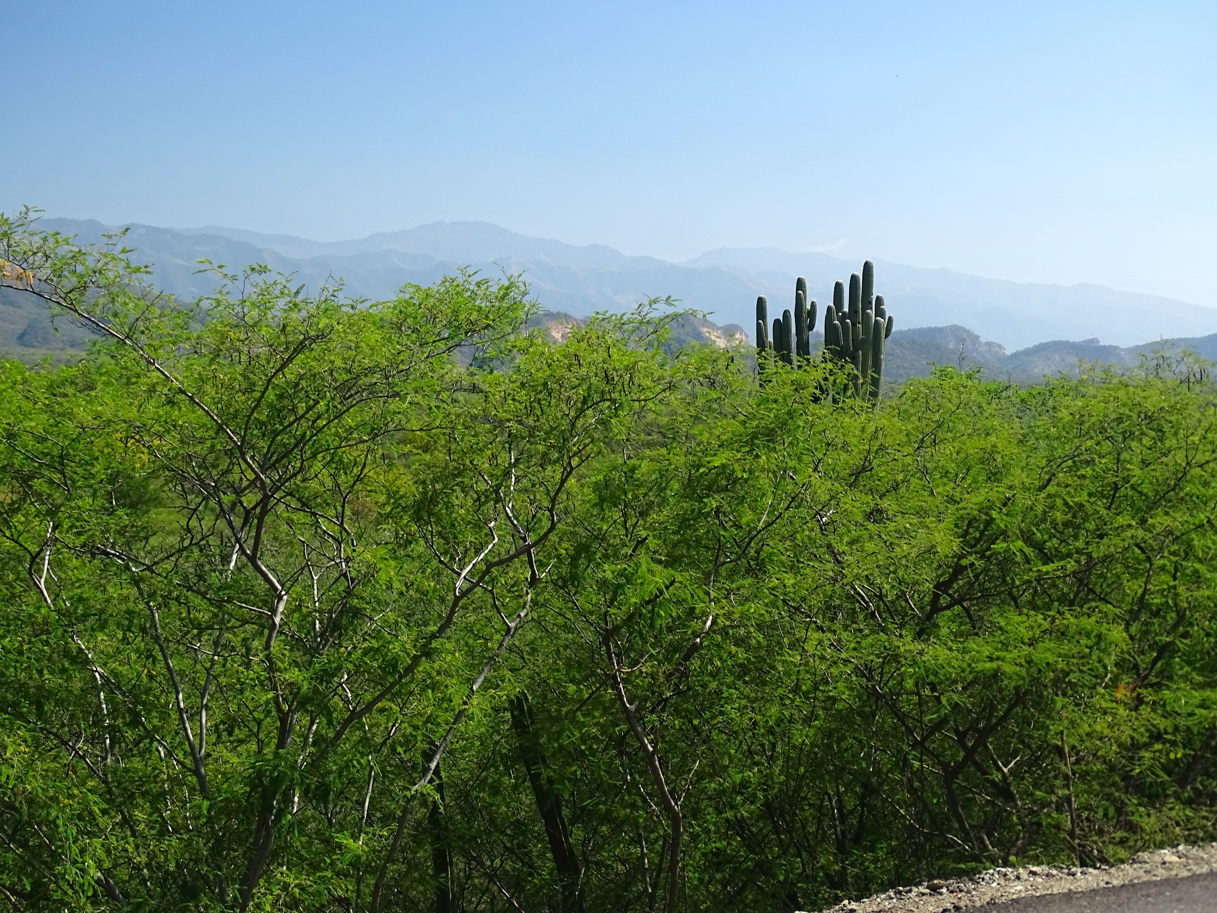 Landscape with Saguaro Cacti beginning to appear