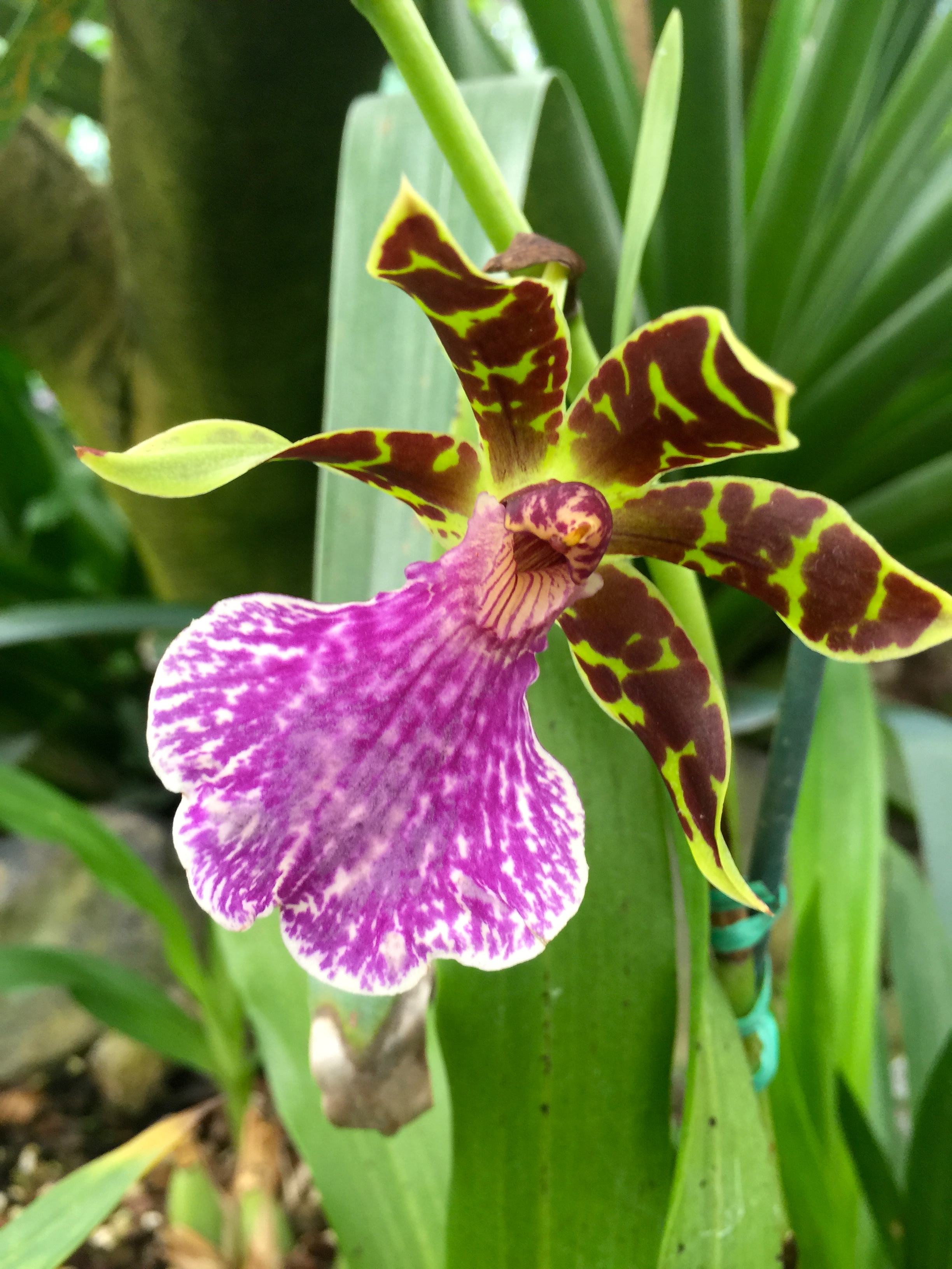 One of my favorite orchids. I have tons of photos.