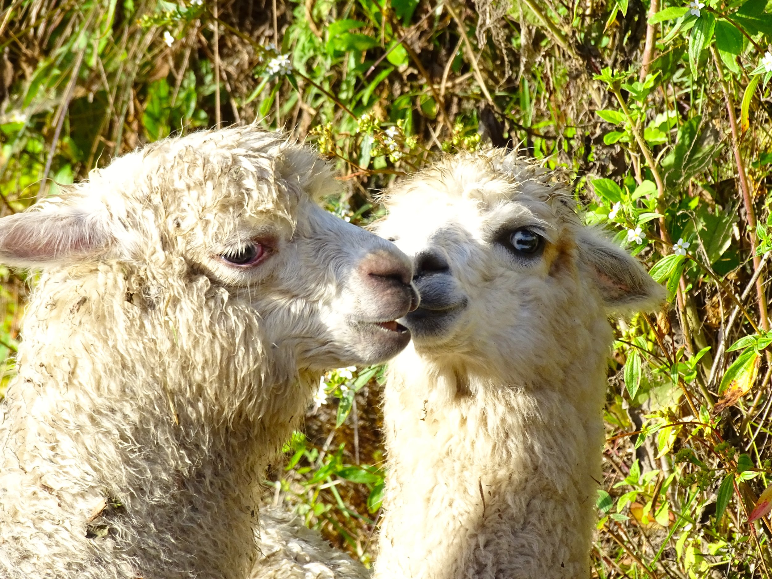Little alpacas having a fun time of it.
