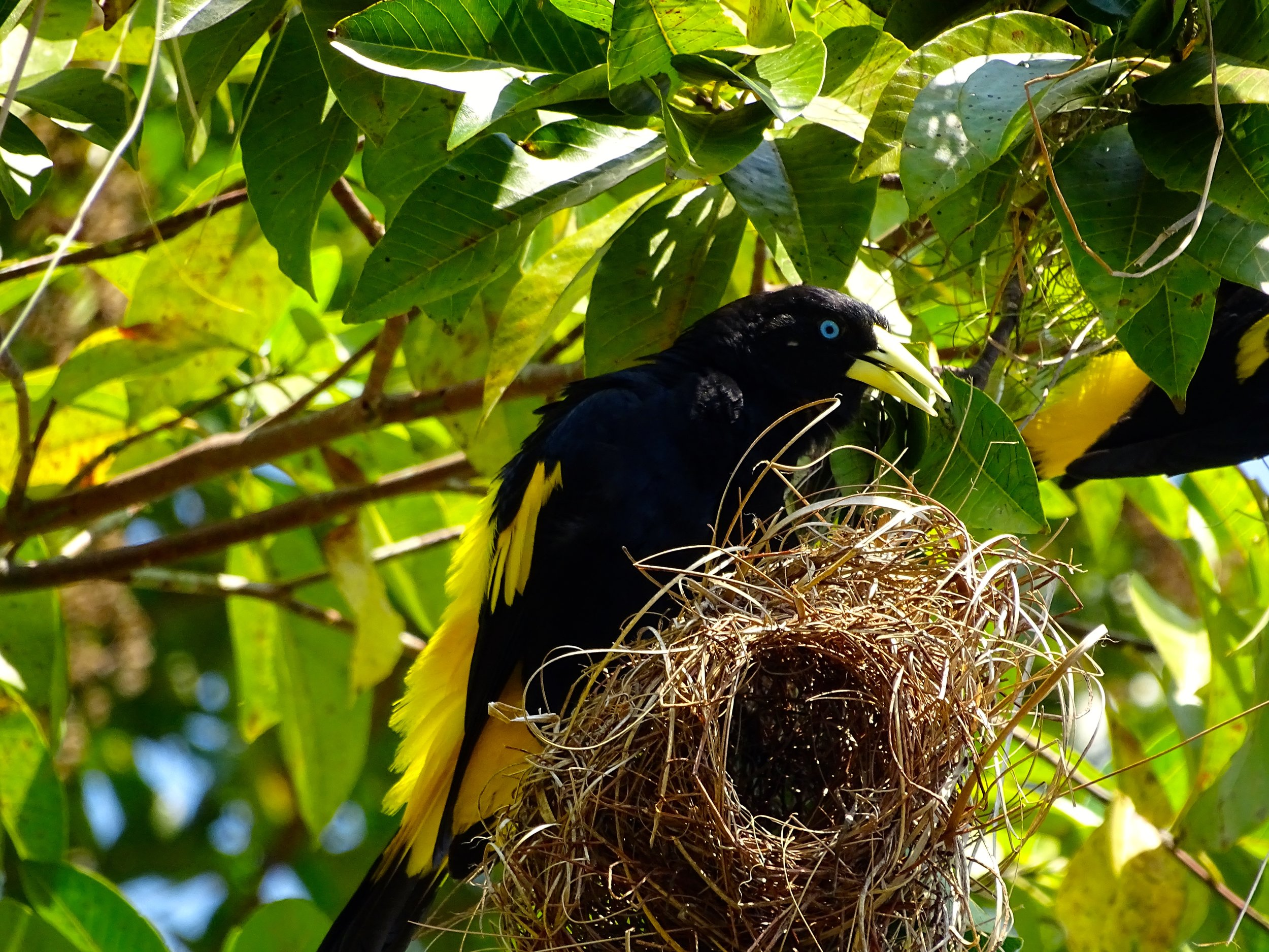 And here's one of the birds who lives in those nests.  Loud and gregarious, they were fun to have around.