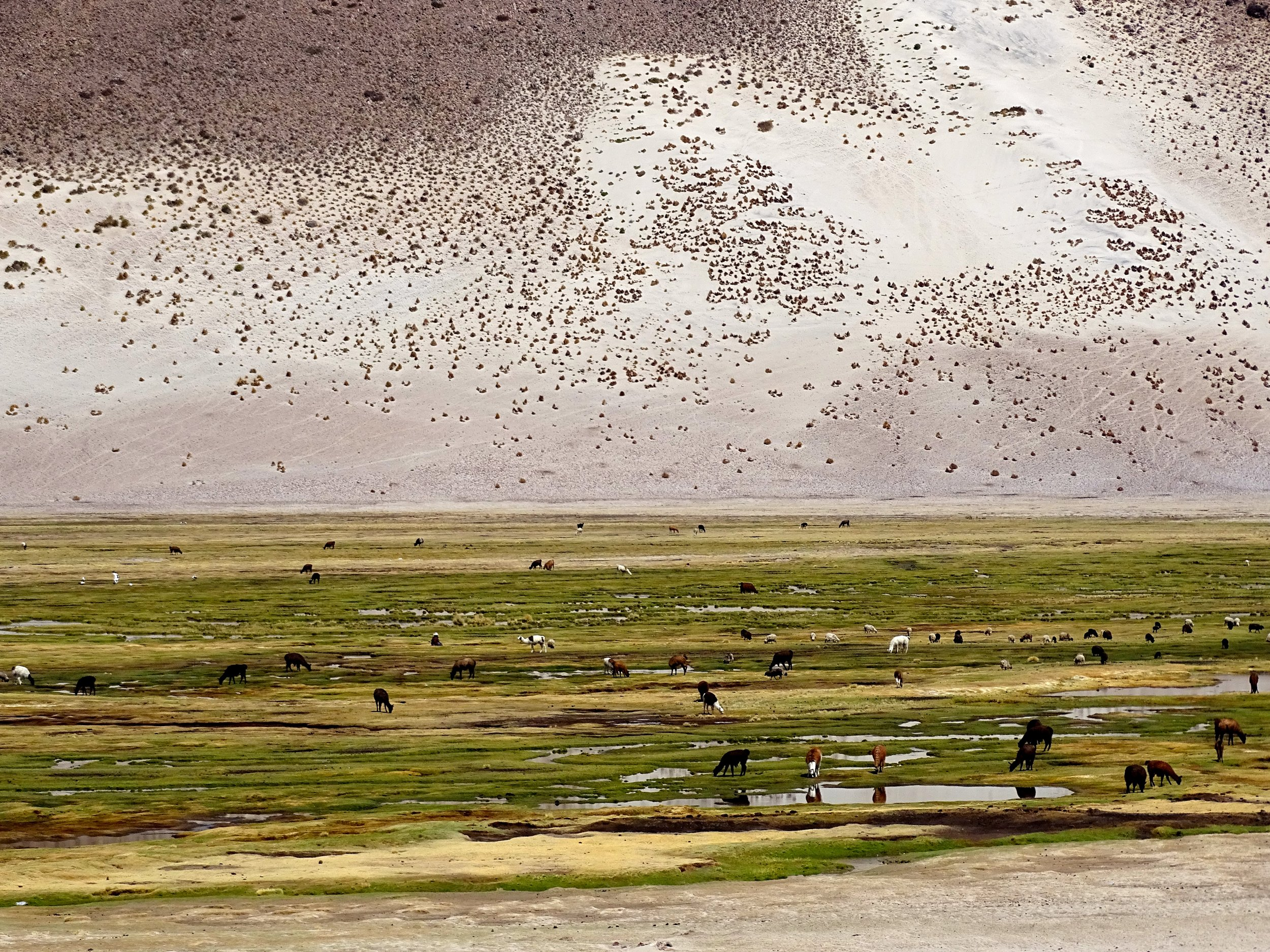 Low marshy areas often held immense herds of llamas.