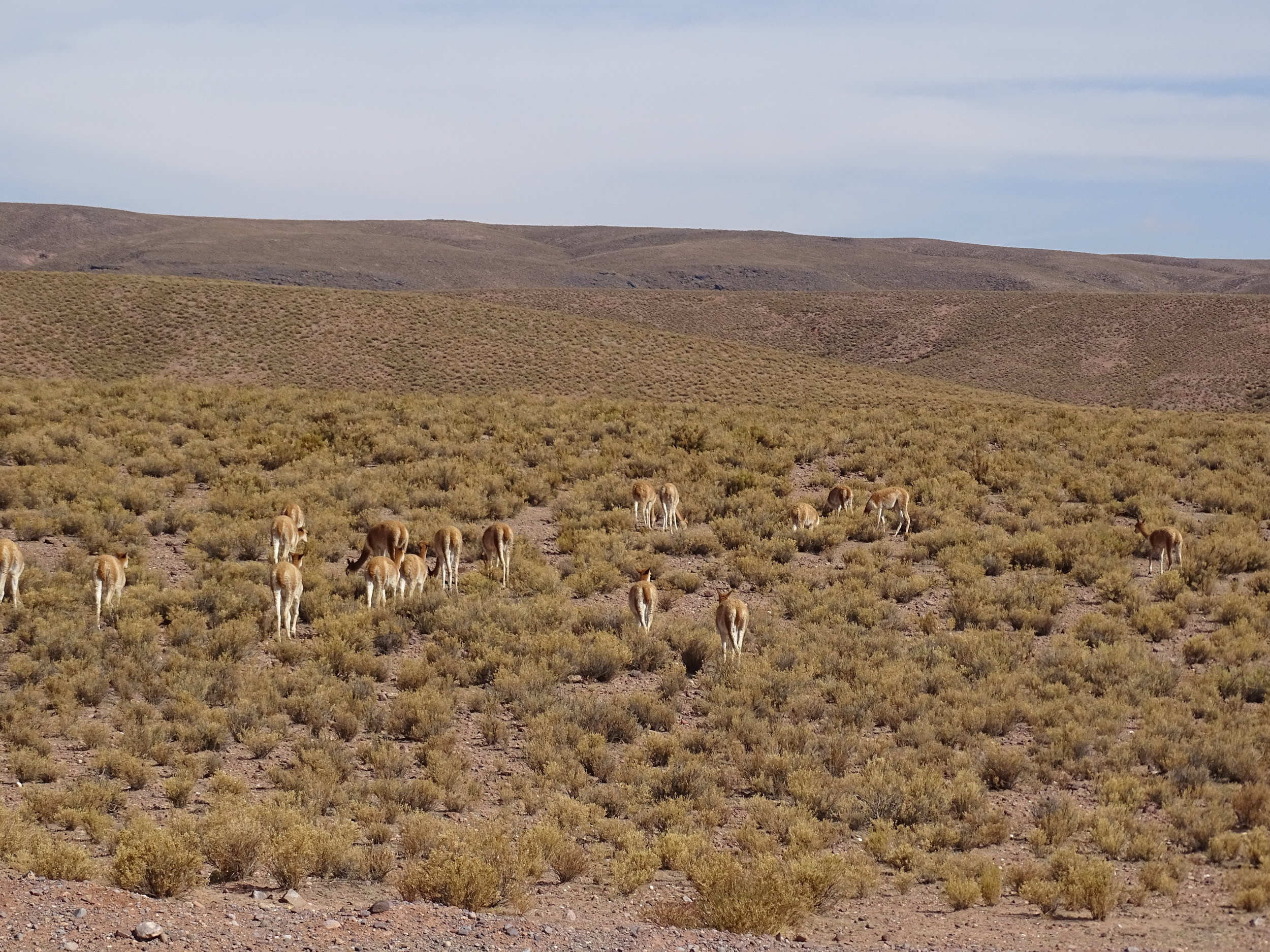 Altiplano wildlife.