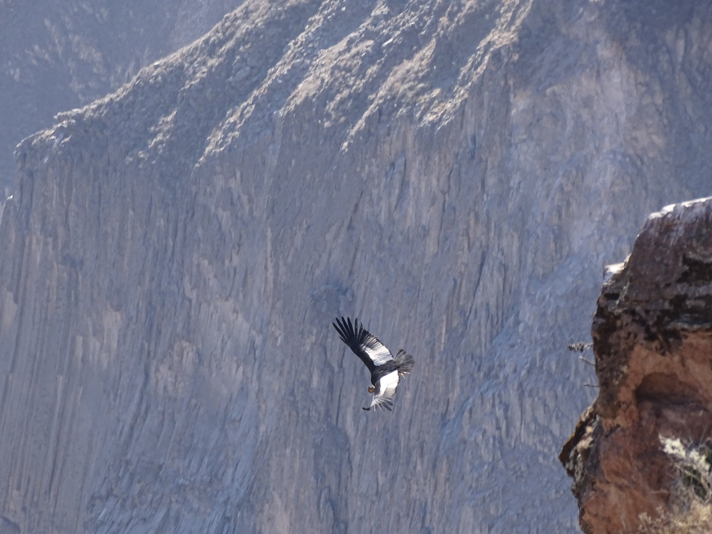 The condors launch by diving off the ledge.  They have underdeveloped flight musculature compared to most birds, and so rarely flap their wings.