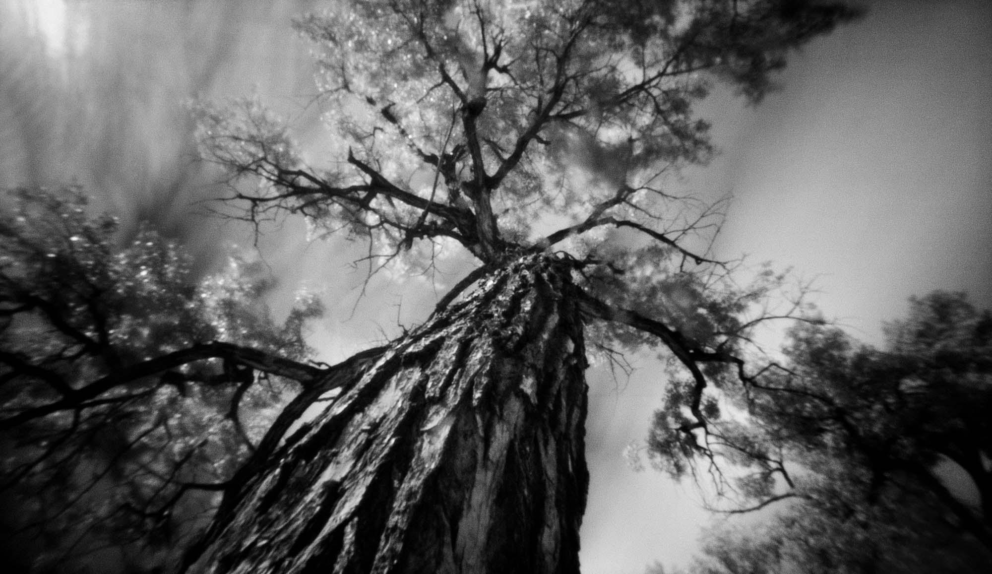 Villanueva Tree