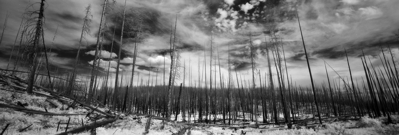 Burnt Trees- Yellowstone