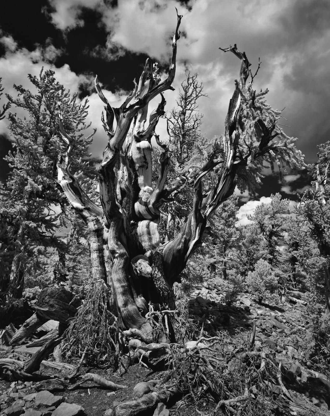 Bristle Cone Pine- Great Basin National Park, Nevada
