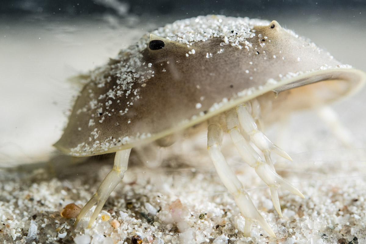 Horseshoe_Crabs_008.jpg