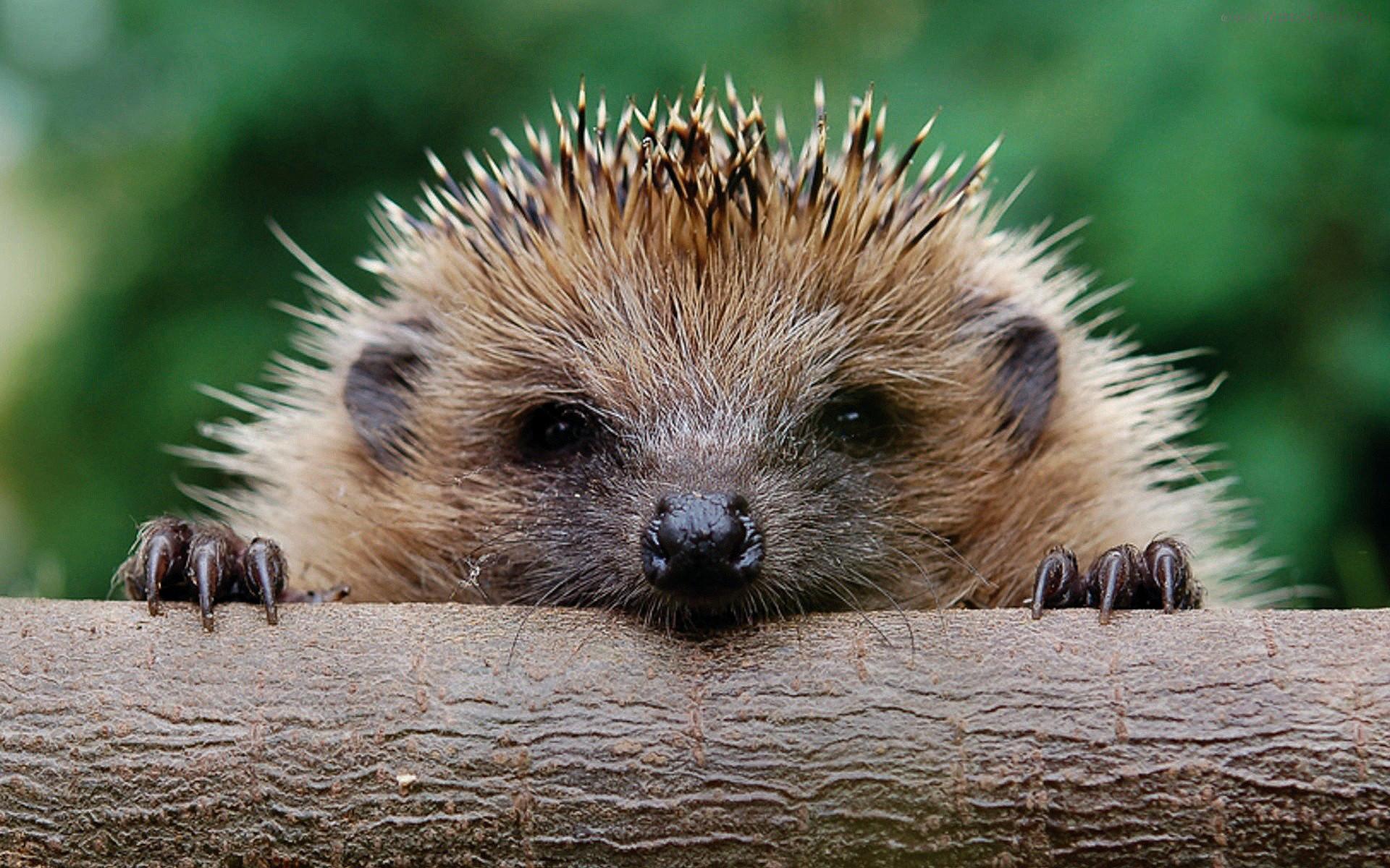 cute-baby-hedgehog-wallpapers-widescreen-2.jpg