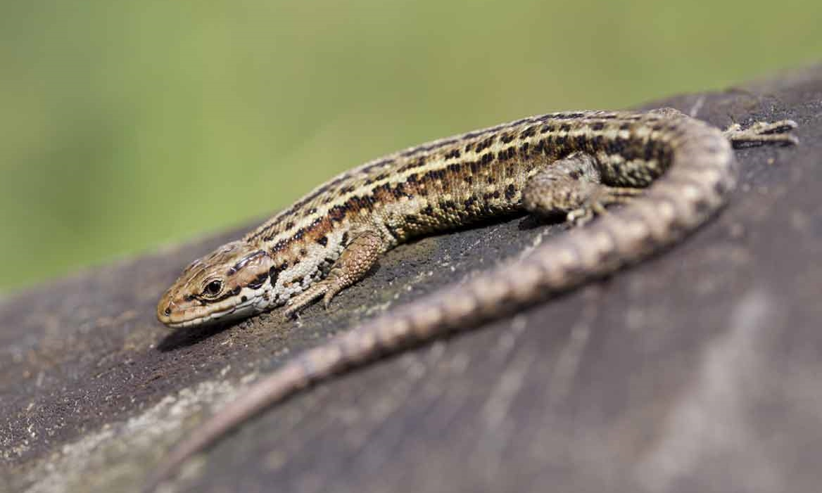Common Lizard Photographed by David Chapman (saga.co.uk)