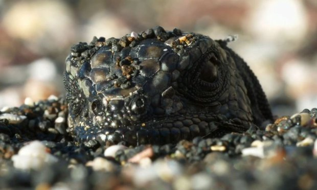 Hatchling Marine Iguana from the 'Islands' episode of the  BBC series Planet Earth II  with Sir David Attenborough.