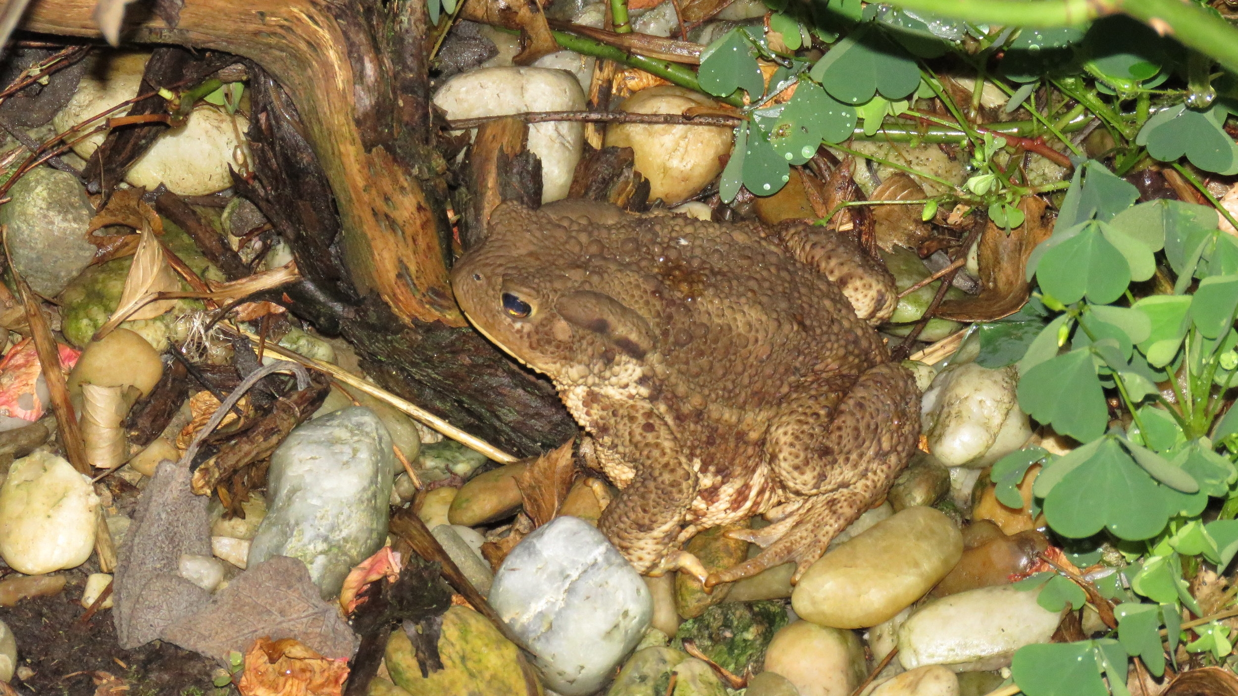 Common Toad (Bufo bufo) found in Krizevci, Slovenia | Photograph by Talita Bateman