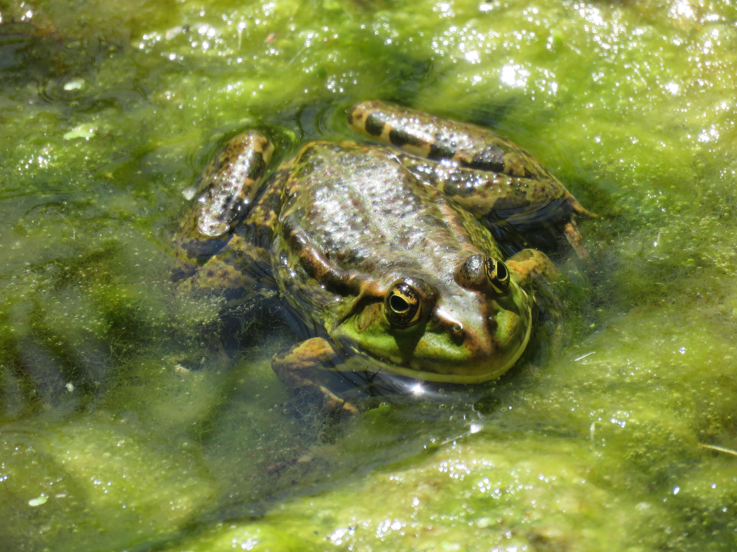 Levant water frog ( Pelophylax bedriagae ) | Photograph by Talita Bateman