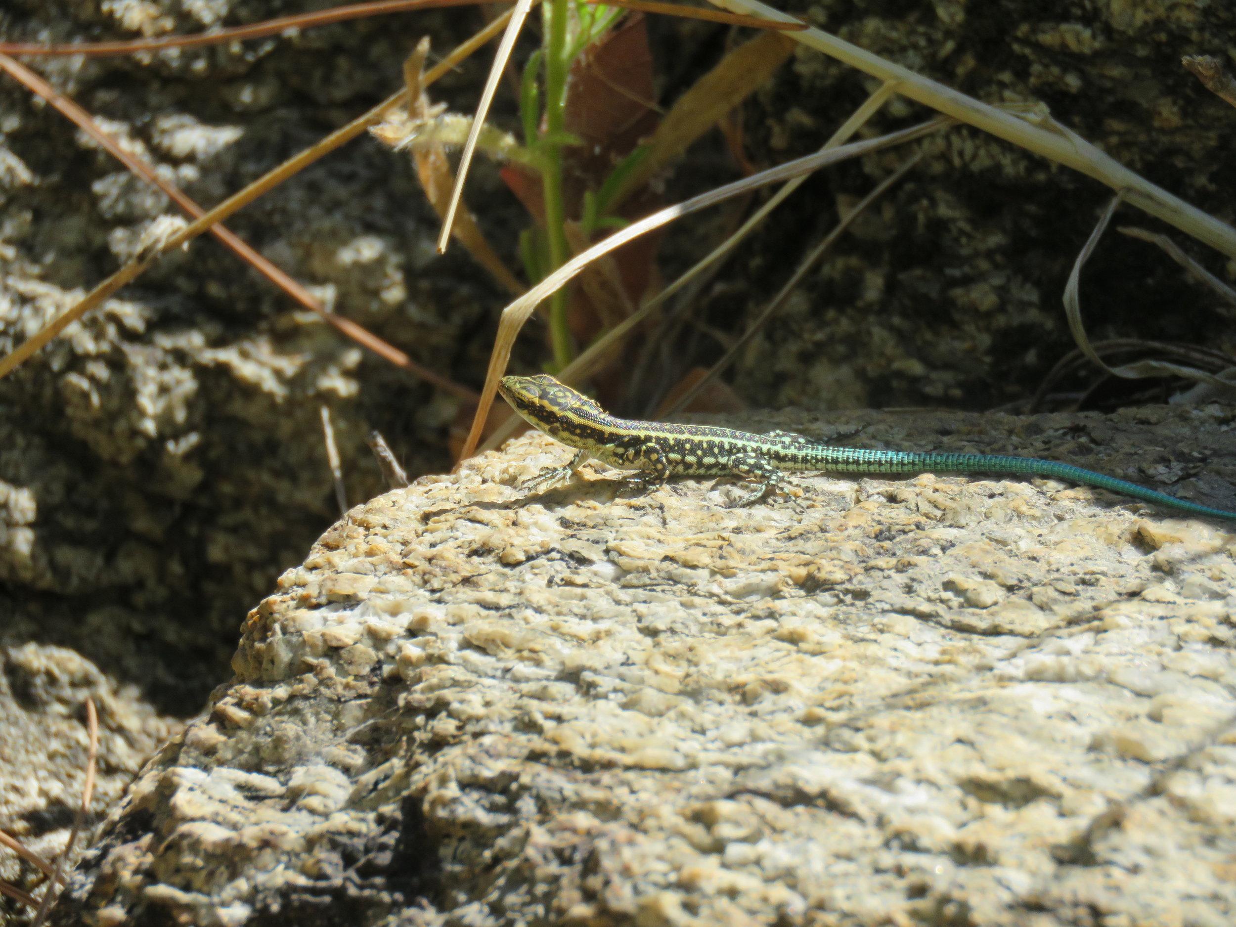 Juvenile Oertzen's Rock Lizard ( Lacerta oertzeni )   Credit: Talita Bateman