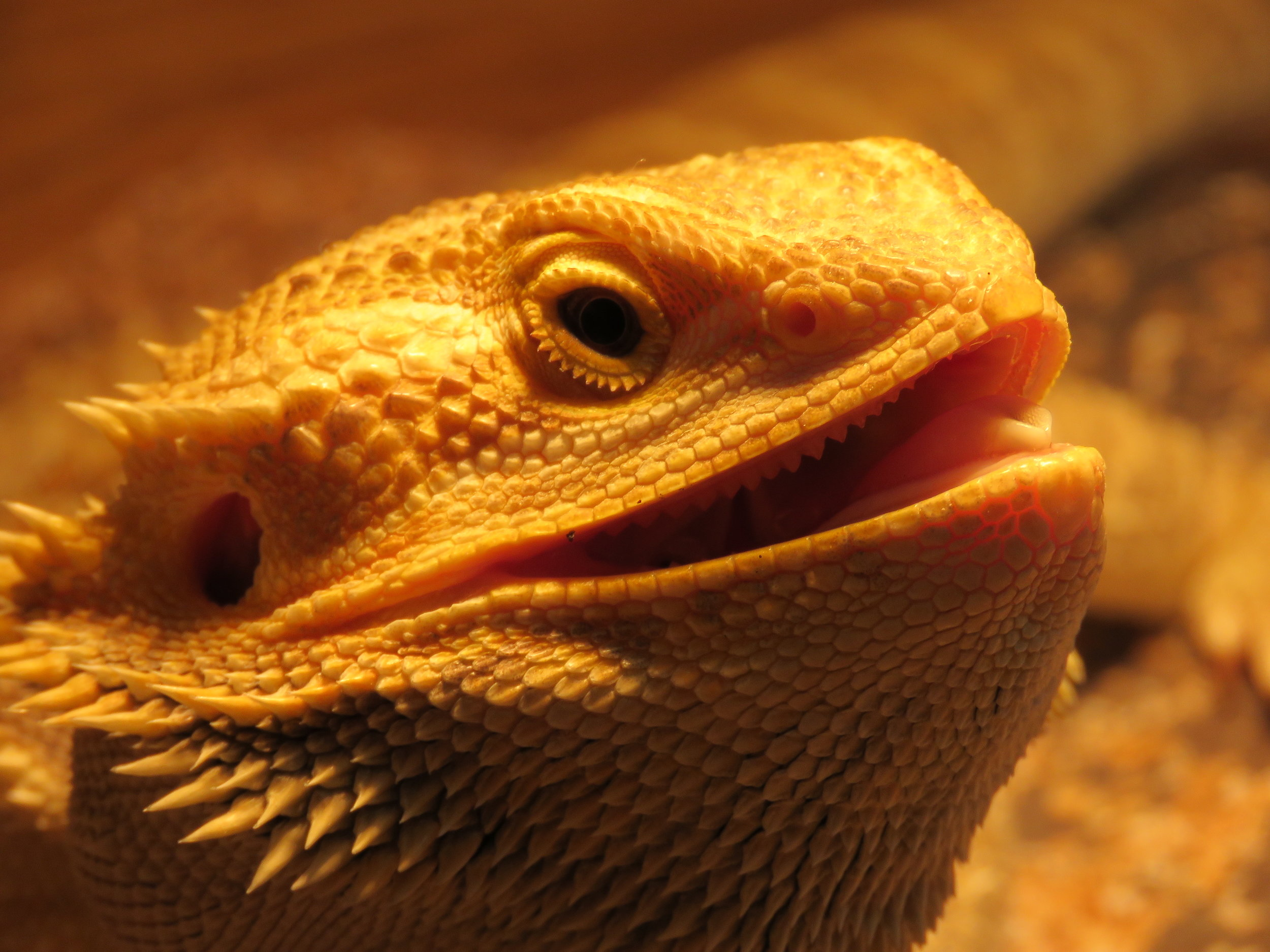 Mushu the Bearded Dragon | Photograph by Talita Bateman