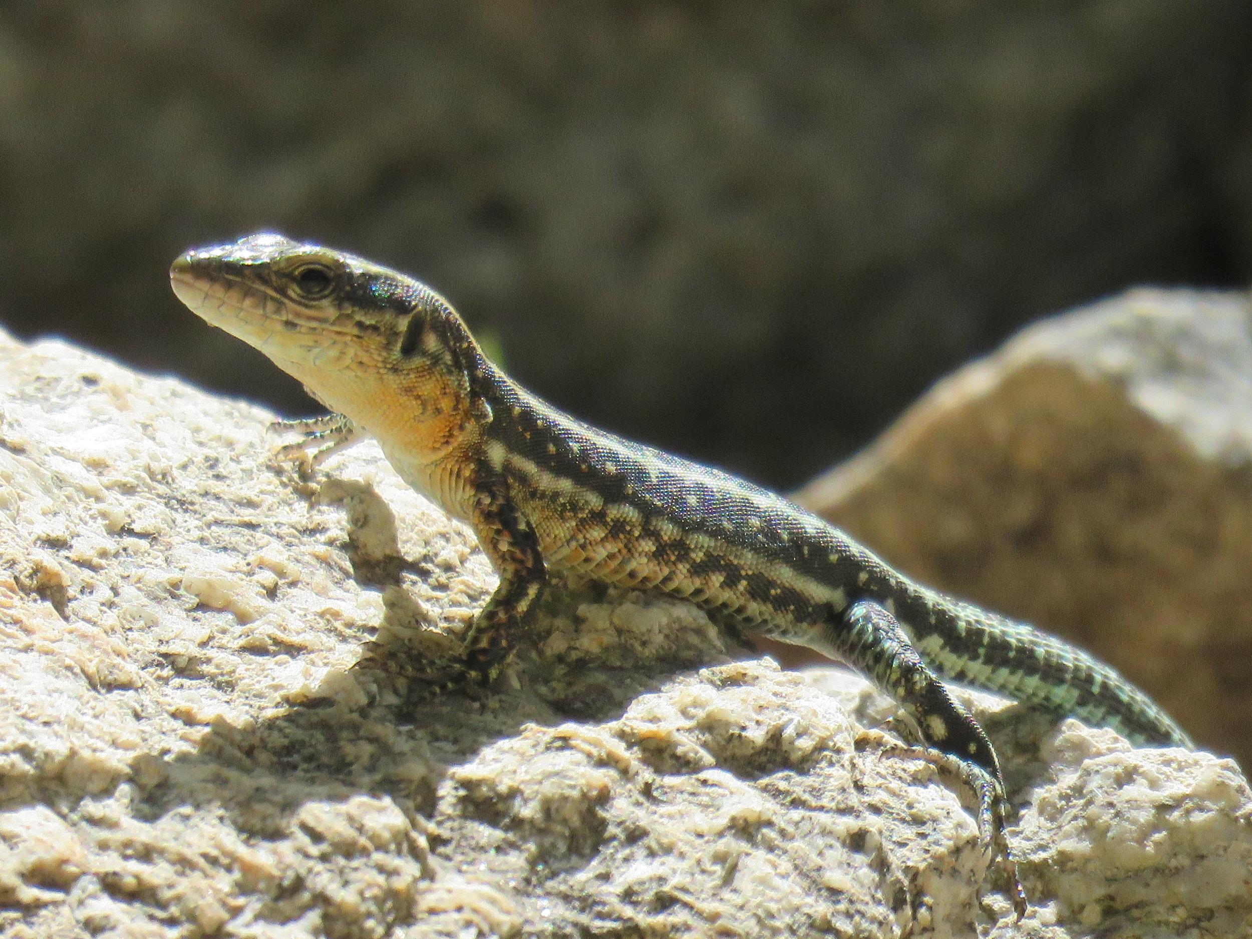 Oertzen's Rock Lizard ( Lacerta Oertzeni )   Credit: Talita Bateman