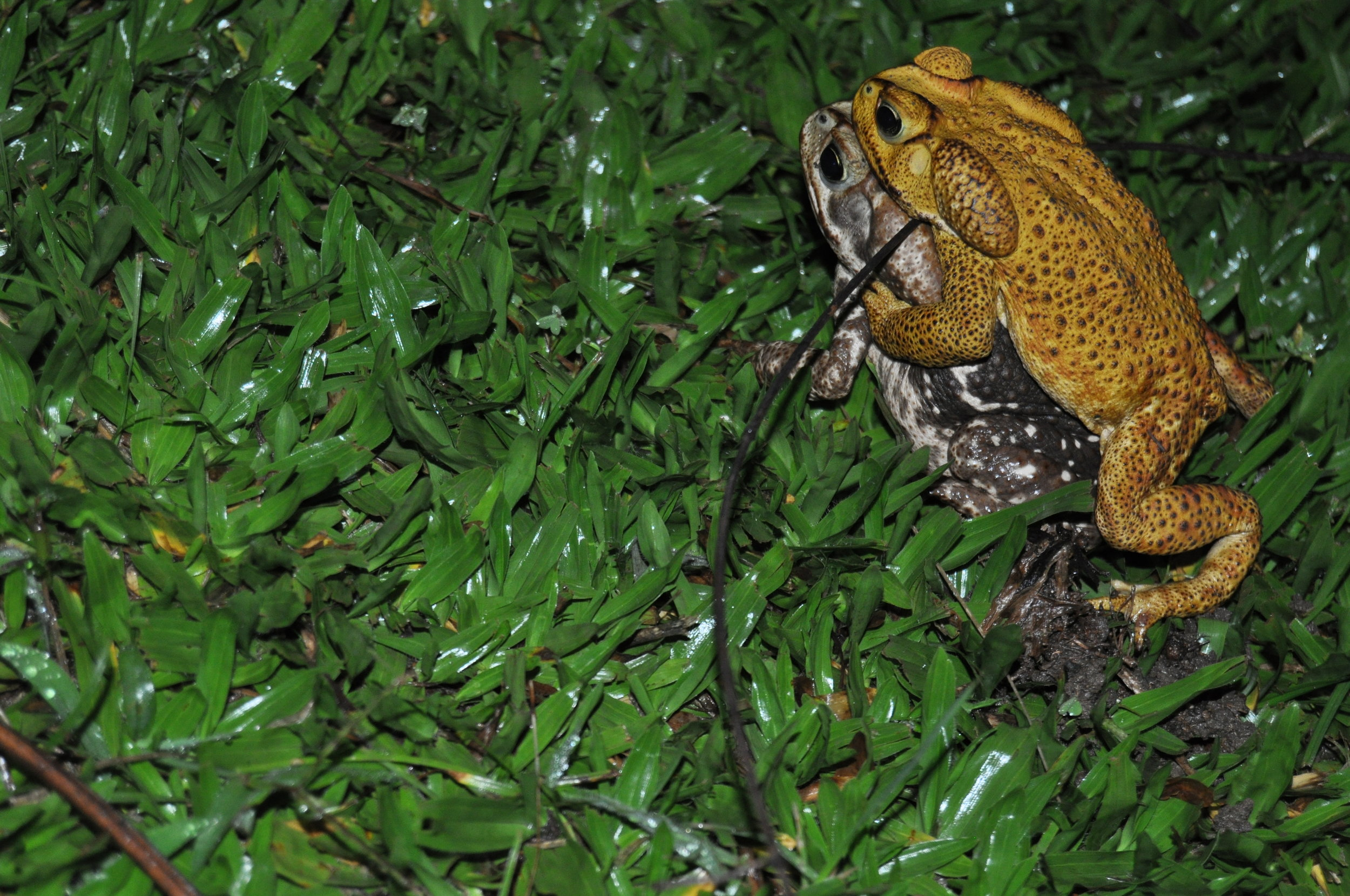 Female and male  Rhinella icterica    Credit: Caio Biasoli
