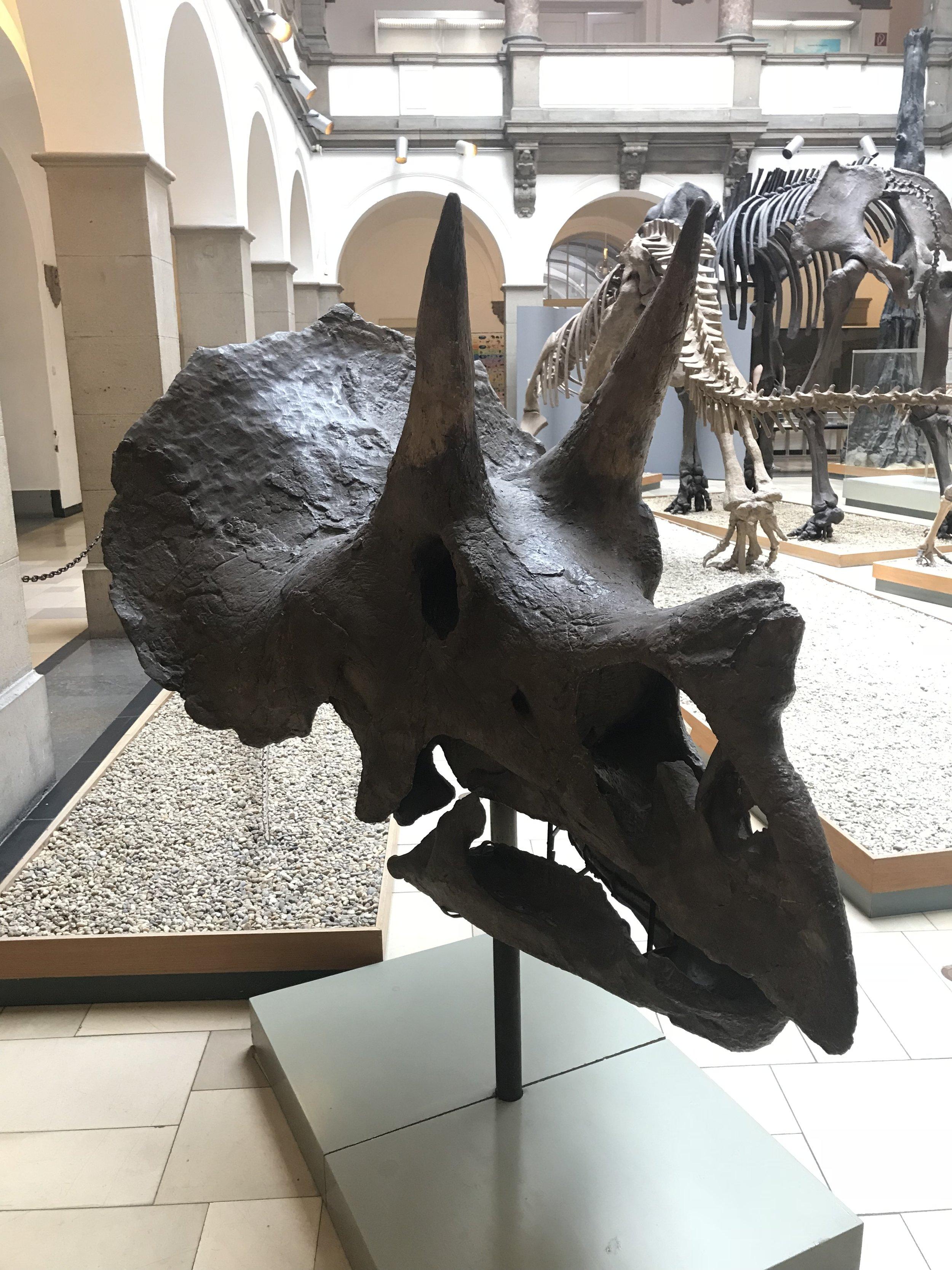 Triceratops horridus    Credit: Talita Bateman
