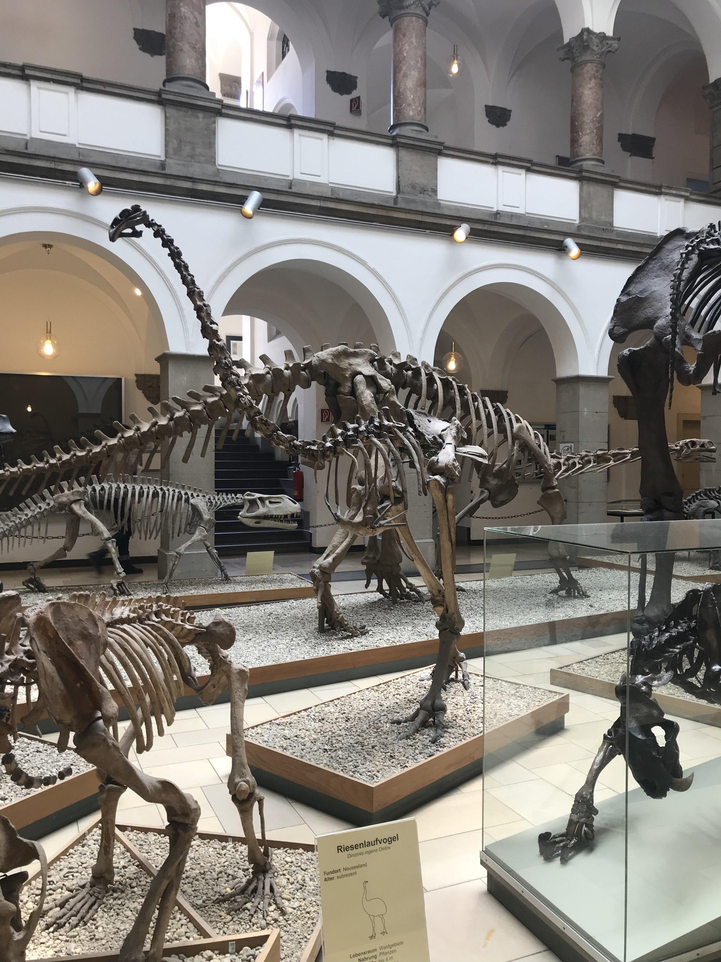 Dinornis ingens    Credit: Talita Bateman